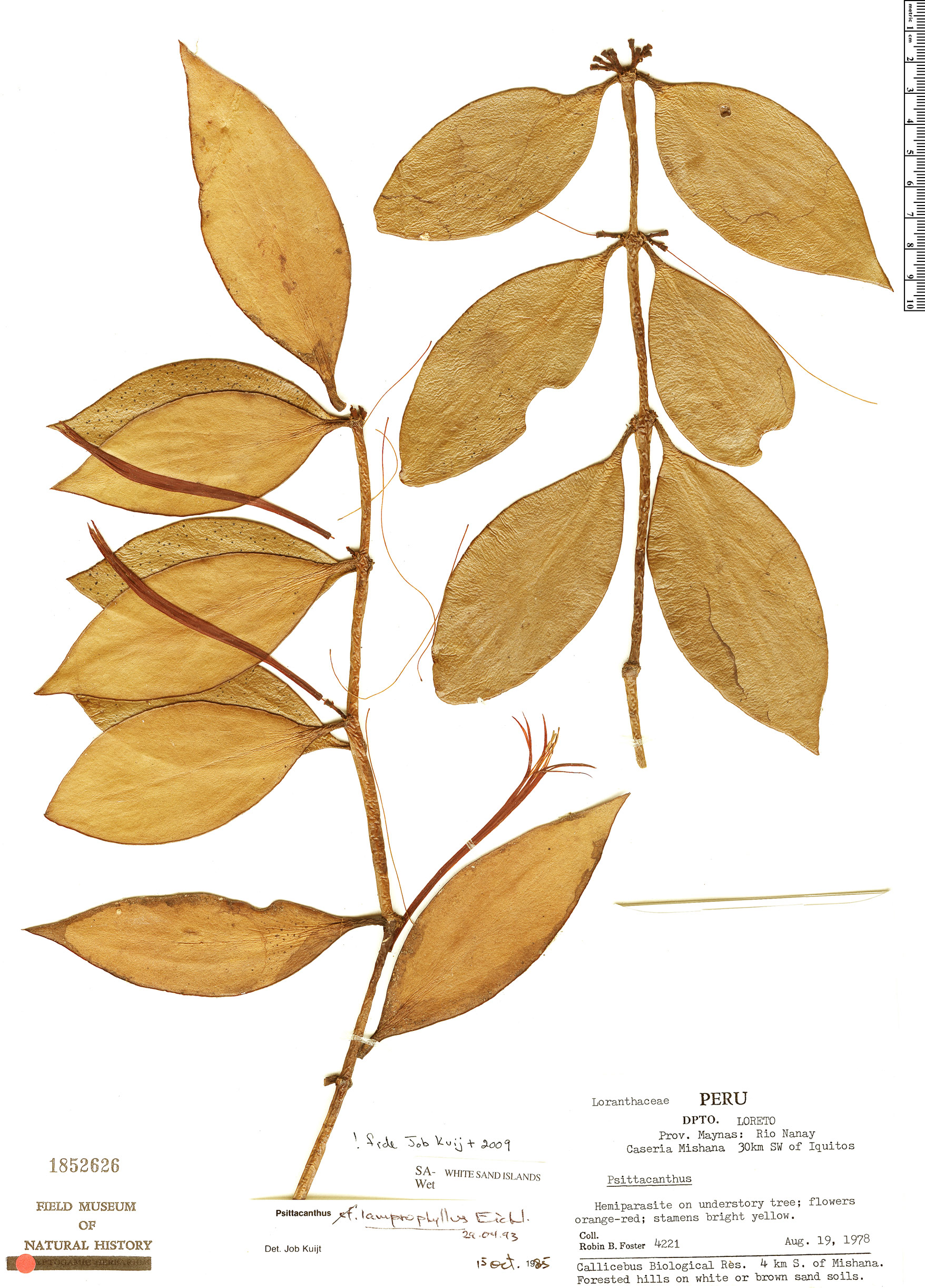 Espécimen: Psittacanthus lamprophyllus