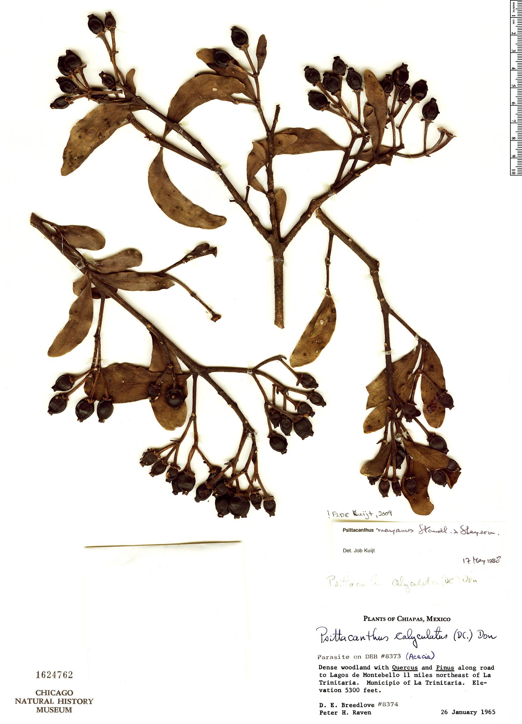 Espécime: Psittacanthus mayanus