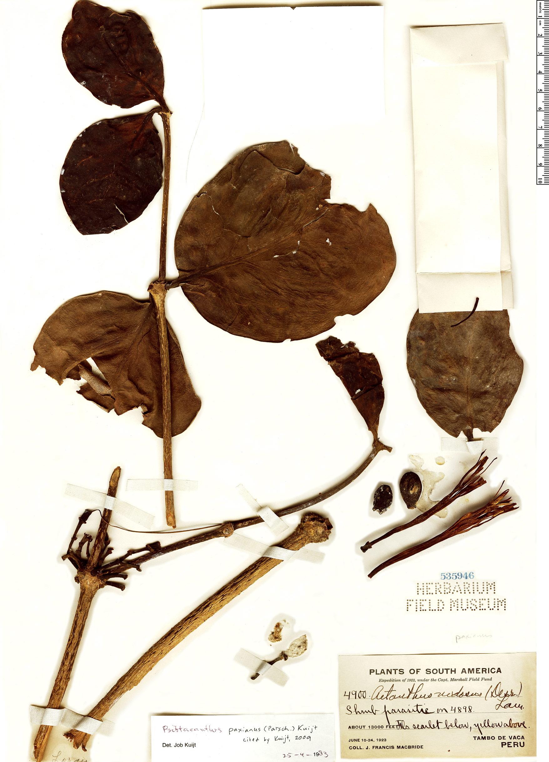 Specimen: Psittacanthus paxianus