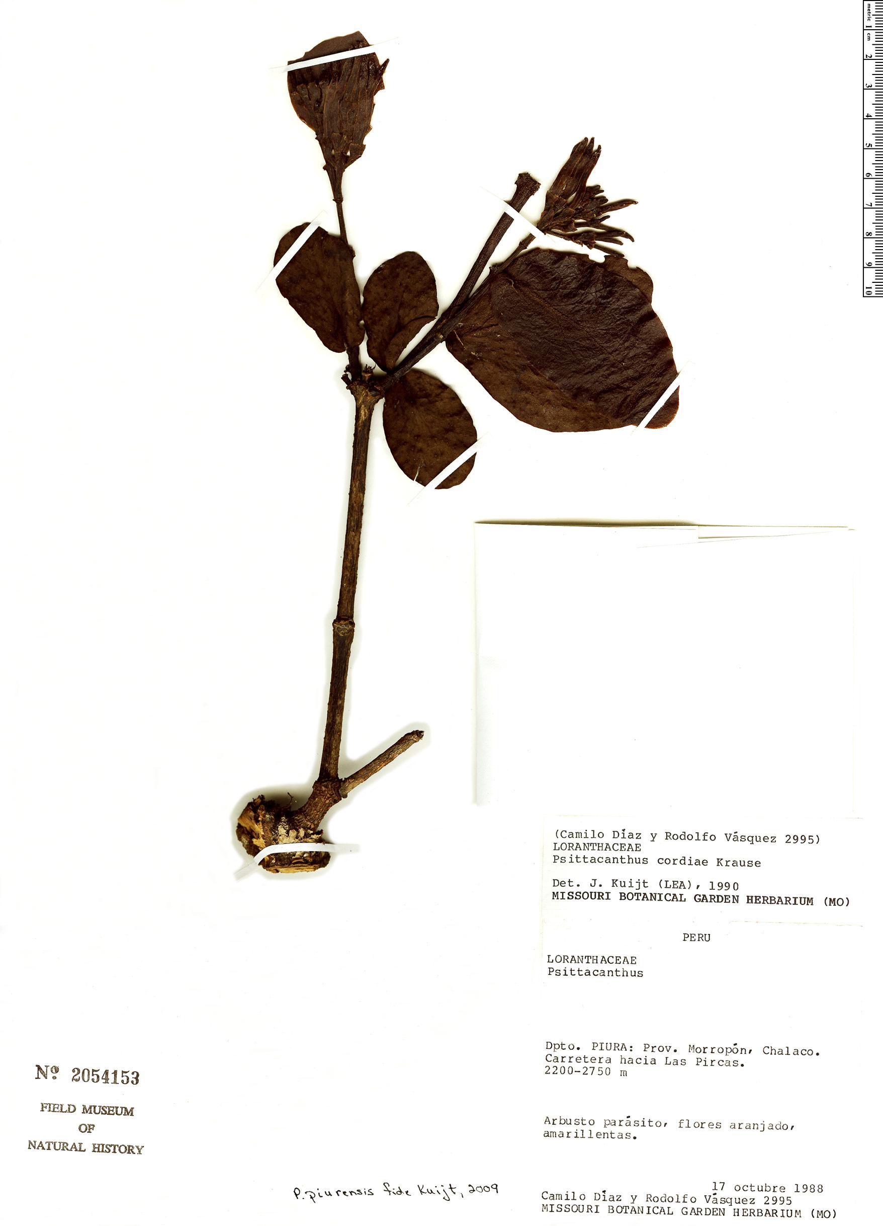Specimen: Psittacanthus piurensis