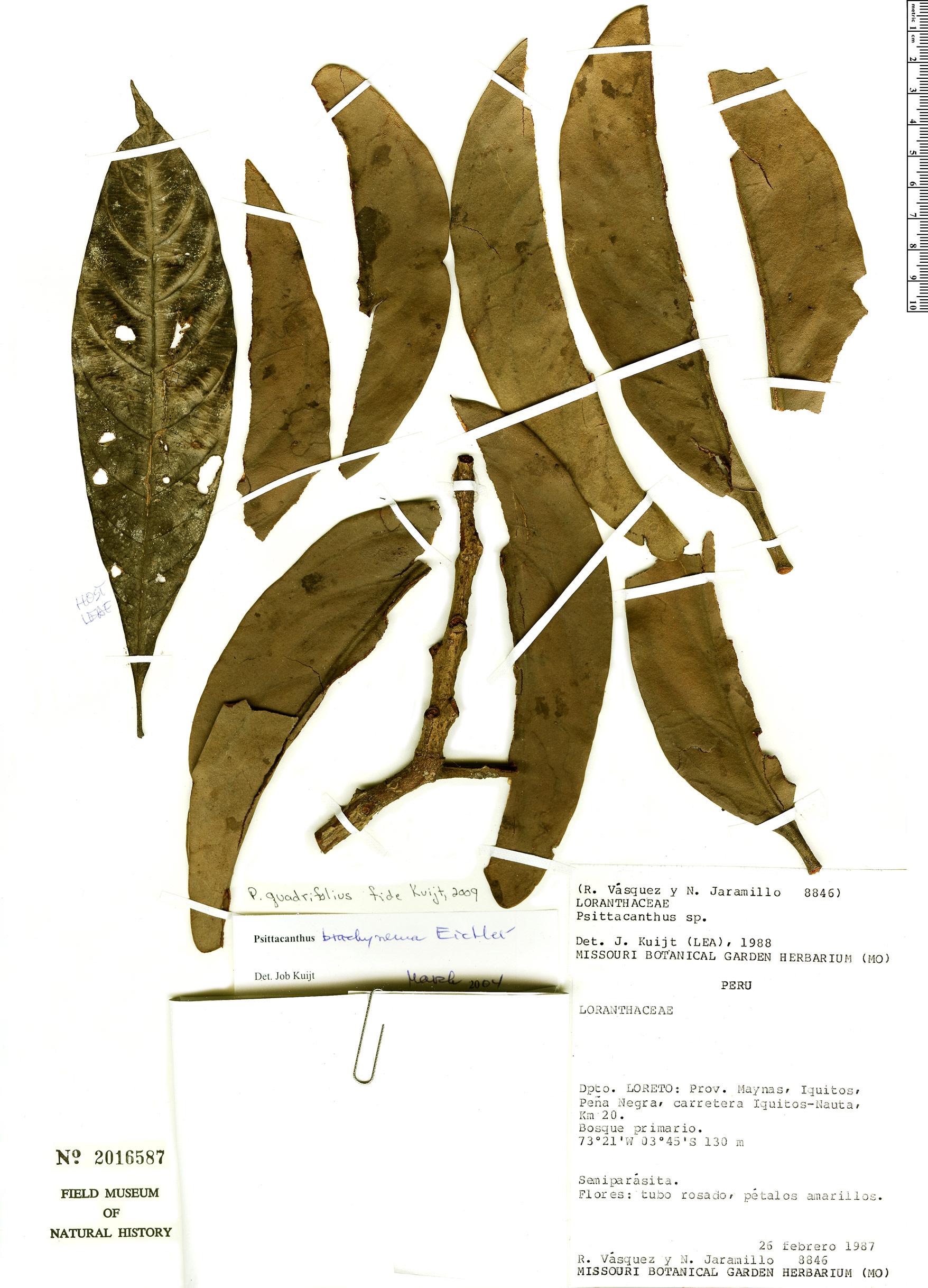Specimen: Psittacanthus quadrifolius