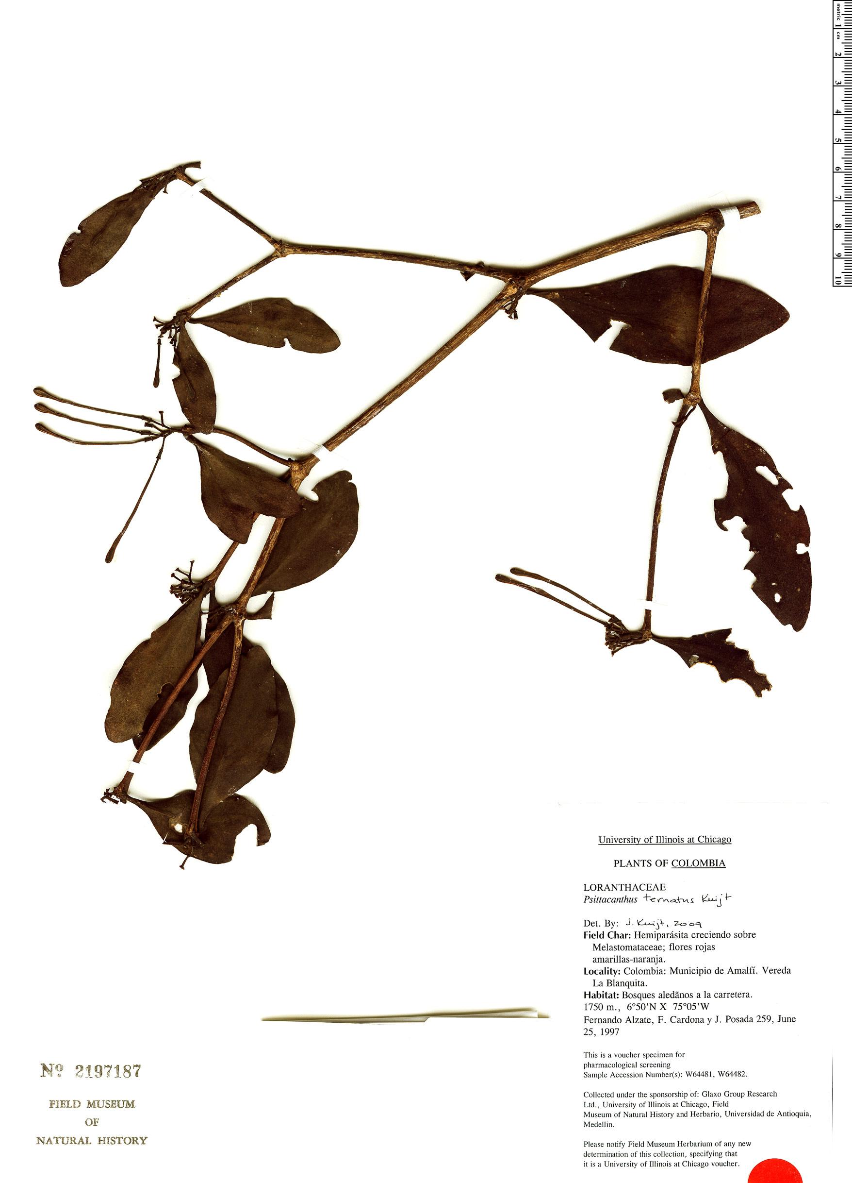 Specimen: Psittacanthus ternatus
