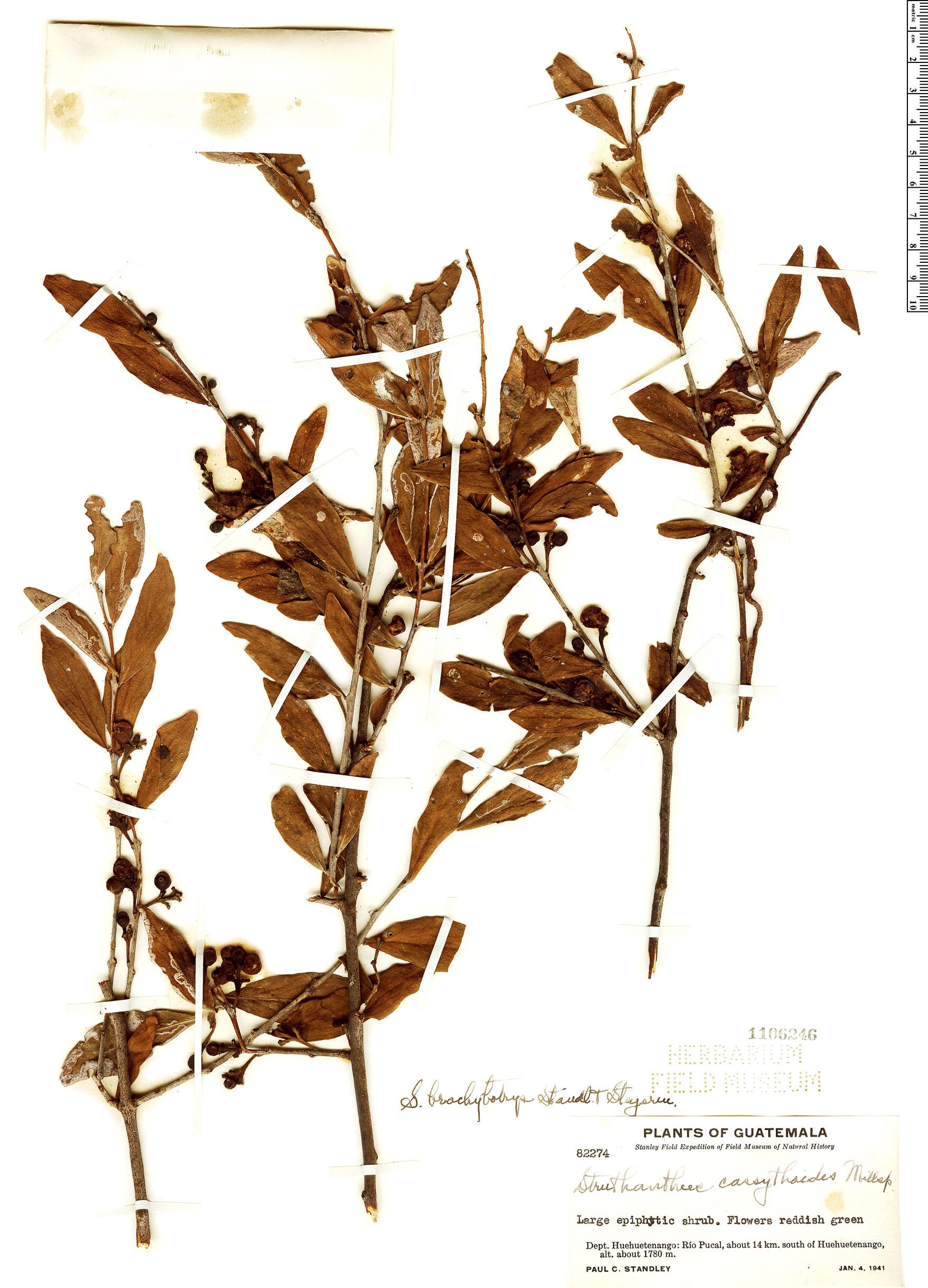 Specimen: Struthanthus brachybotrys