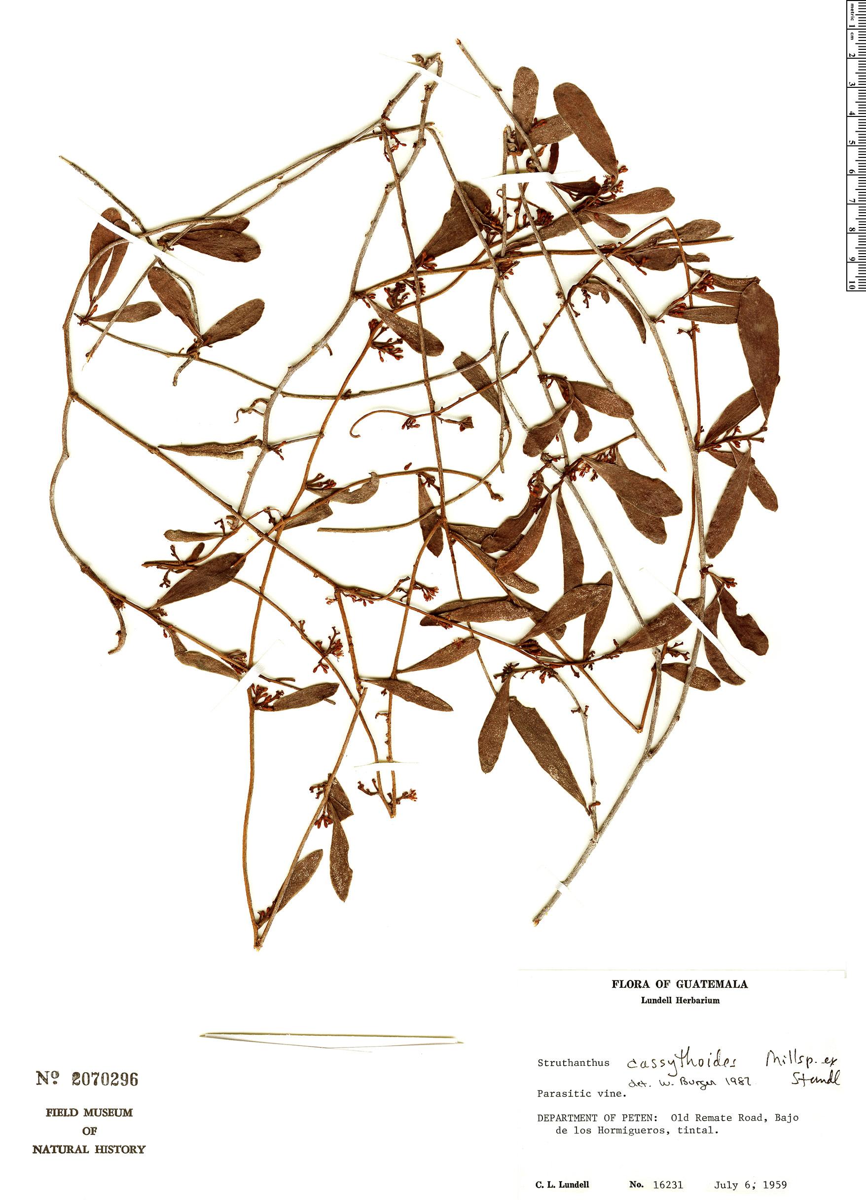 Specimen: Struthanthus cassythoides