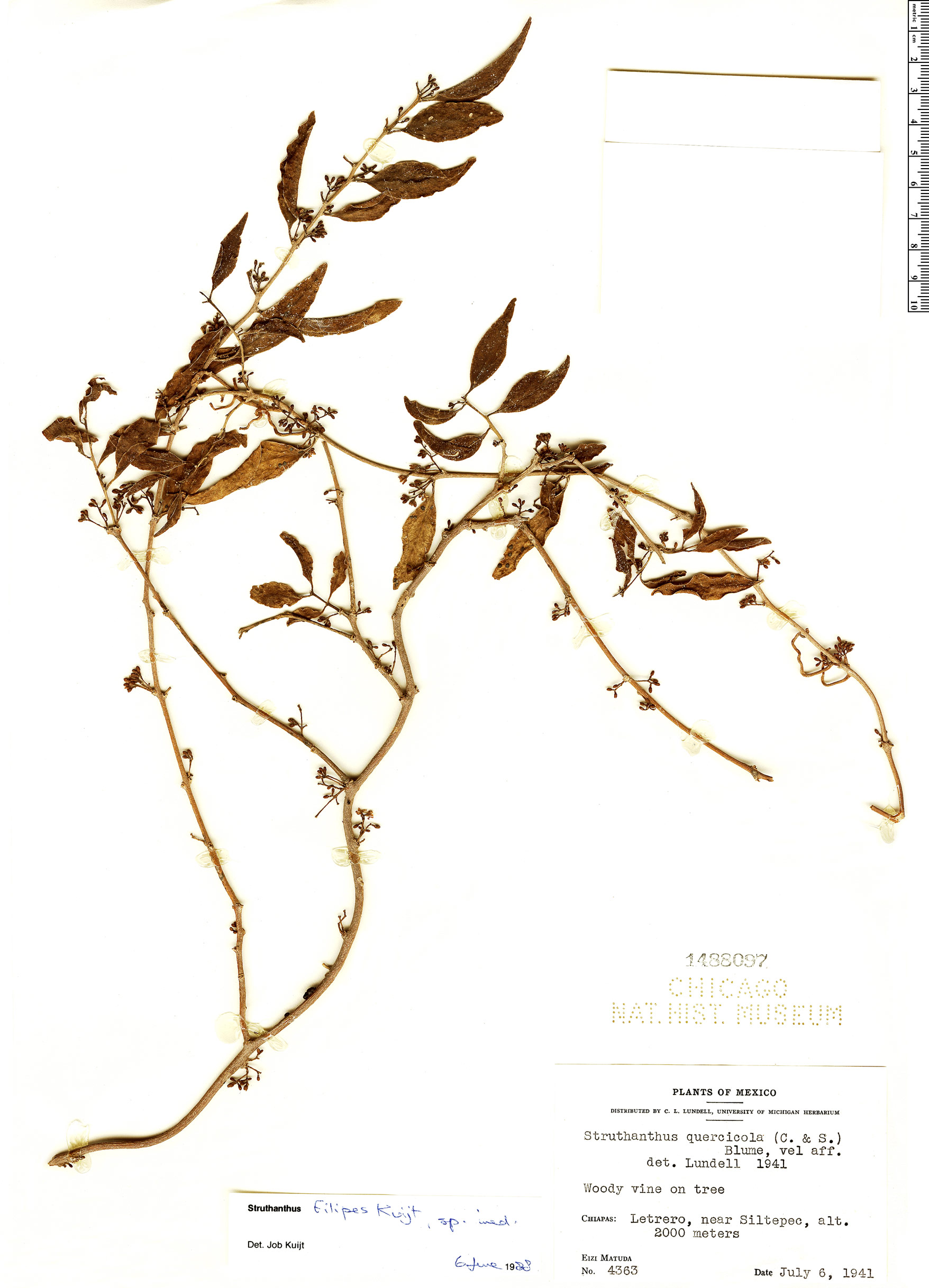 Specimen: Struthanthus filipes