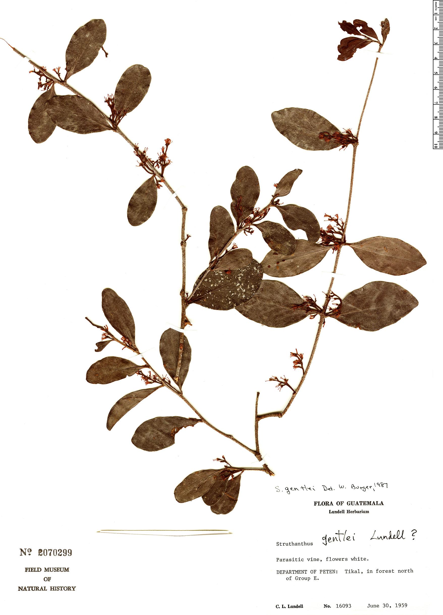 Specimen: Struthanthus gentlei