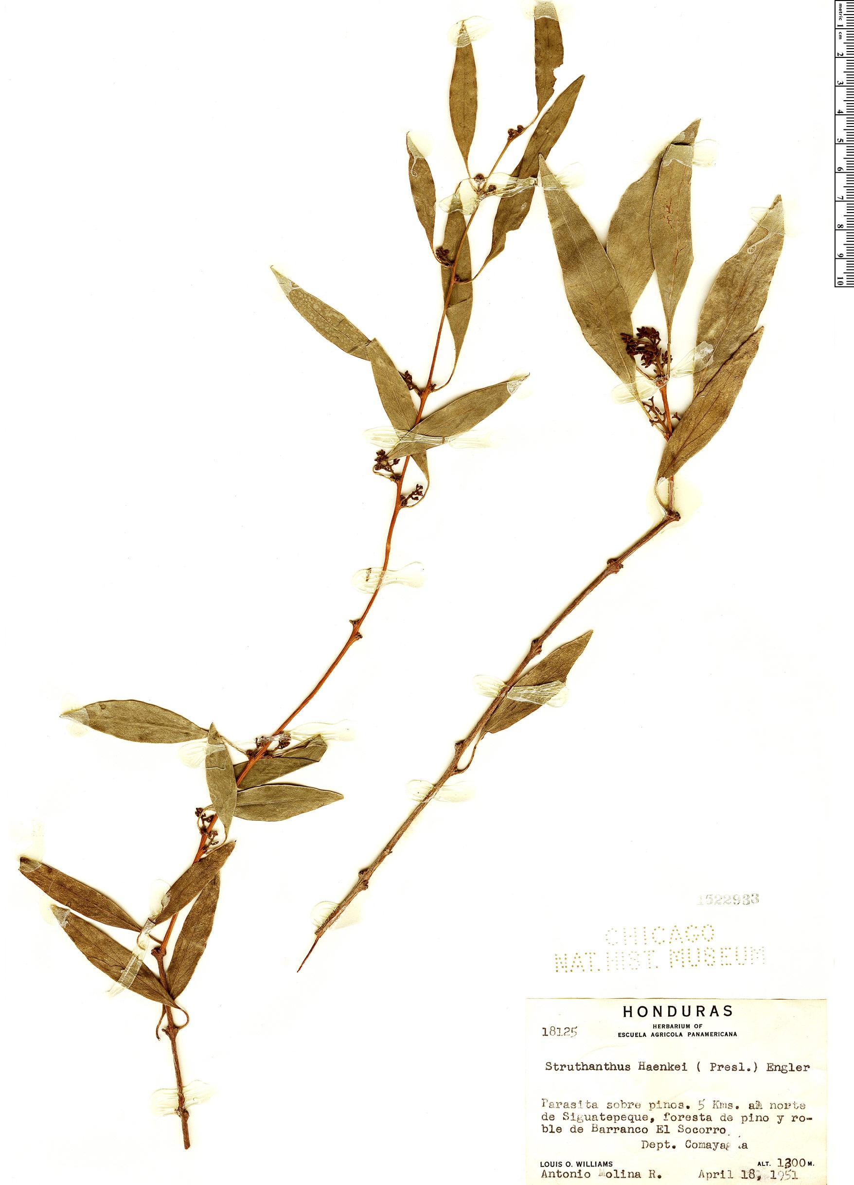 Specimen: Struthanthus haenkei