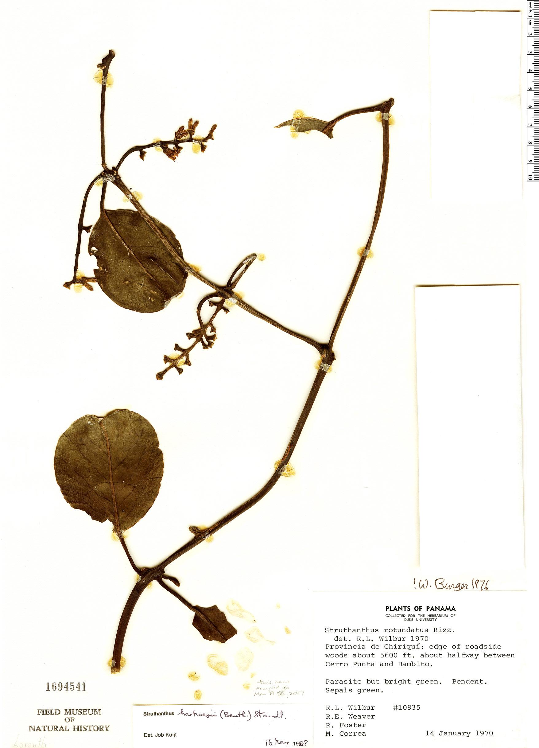Specimen: Struthanthus hartwegii