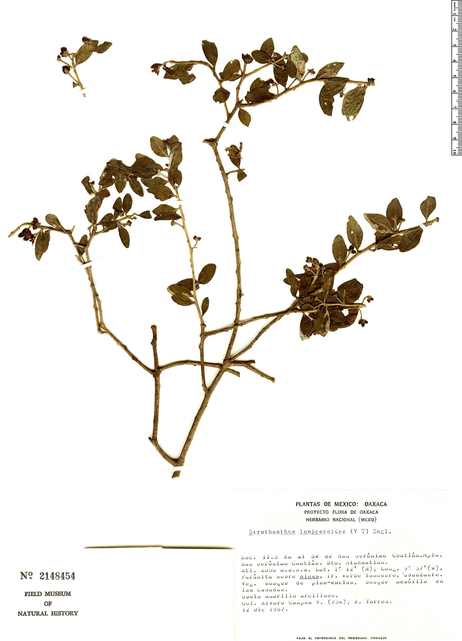 Espécimen: Struthanthus loniceroides