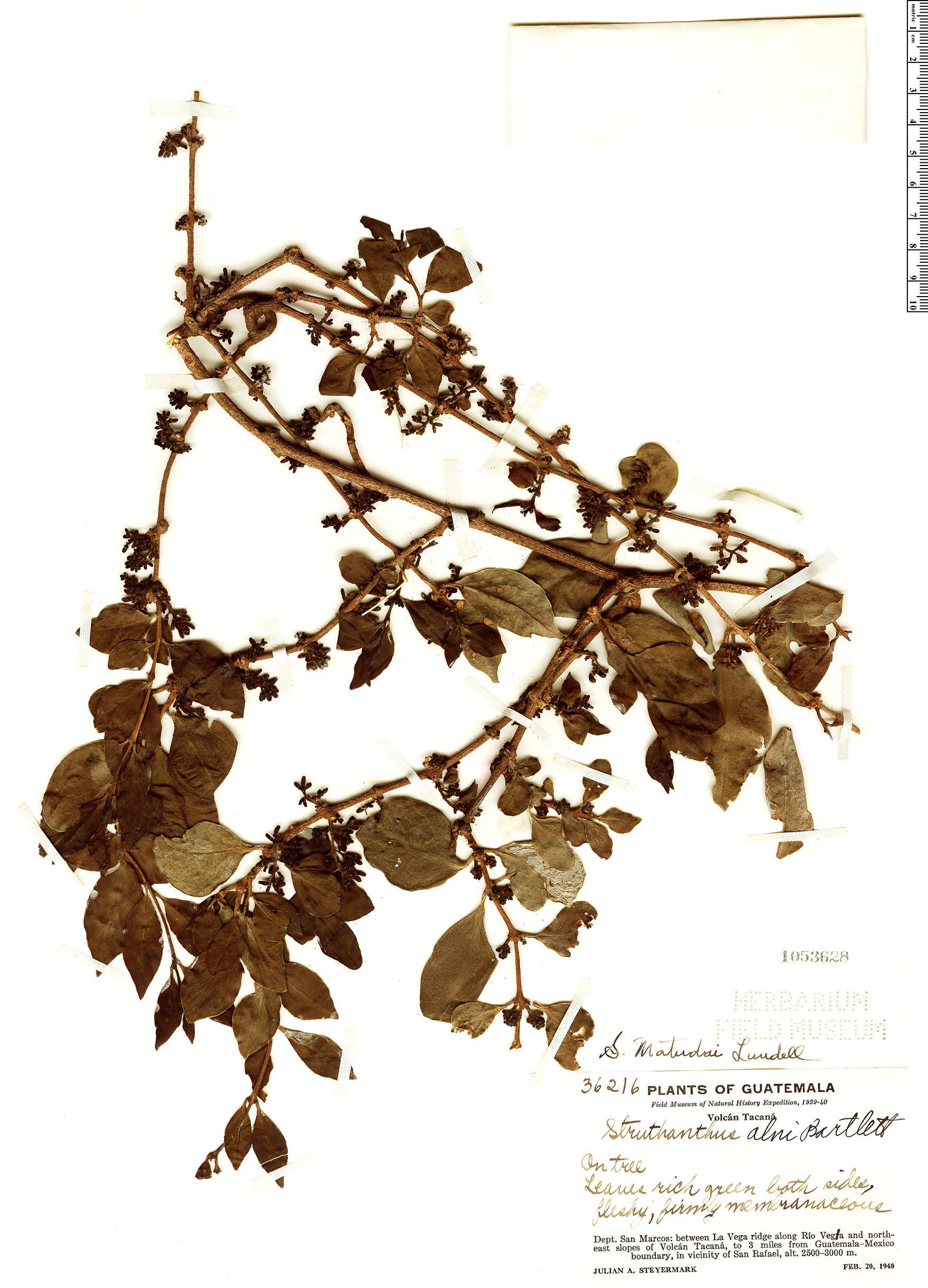 Specimen: Struthanthus matudae