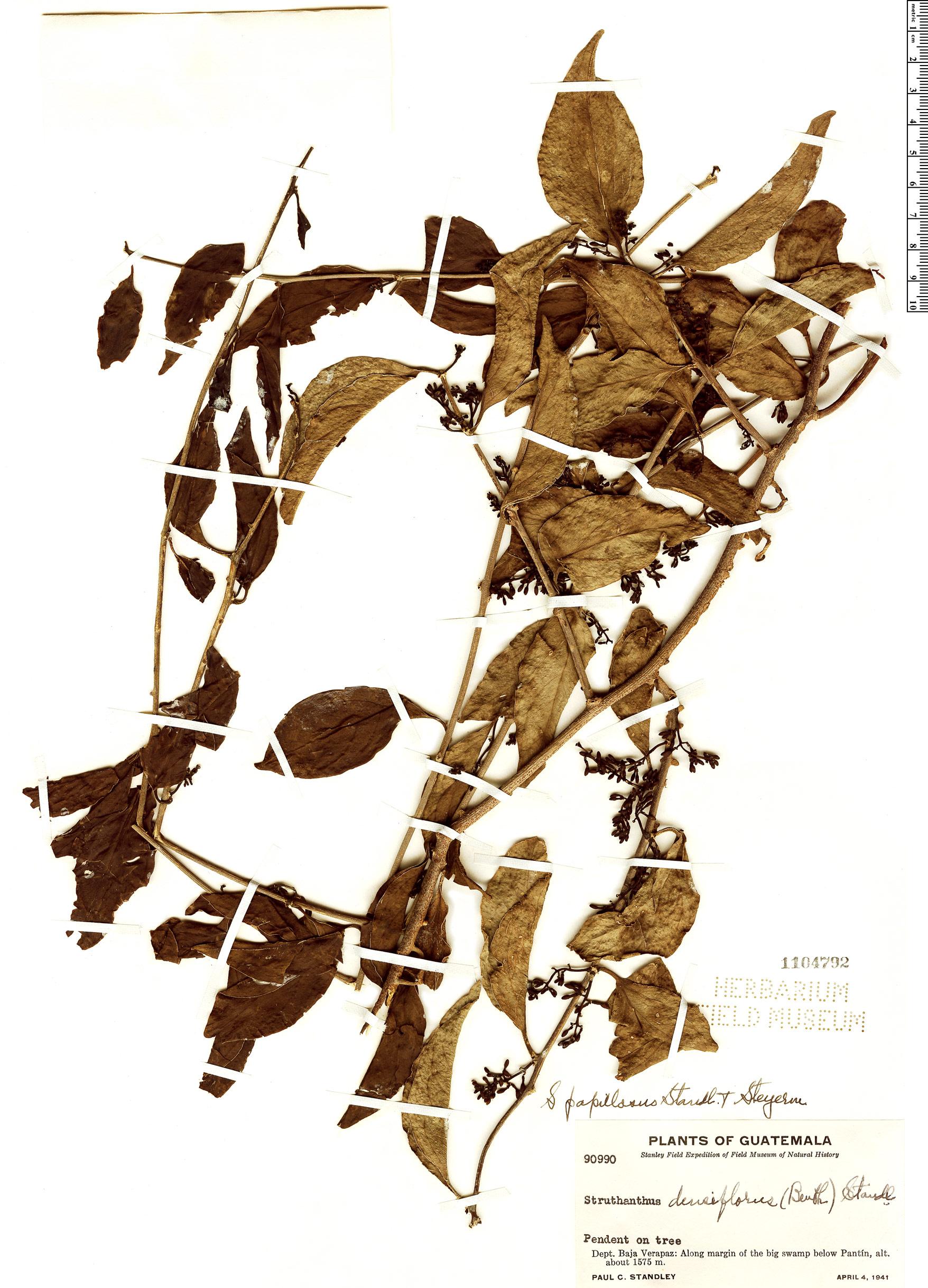 Specimen: Struthanthus papillosus