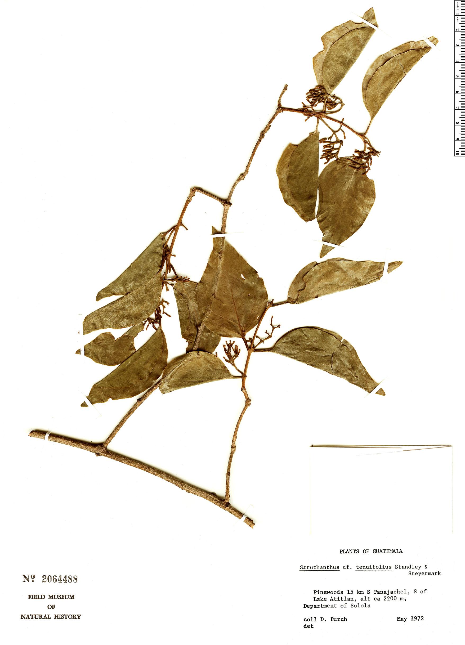 Specimen: Struthanthus tenuifolius
