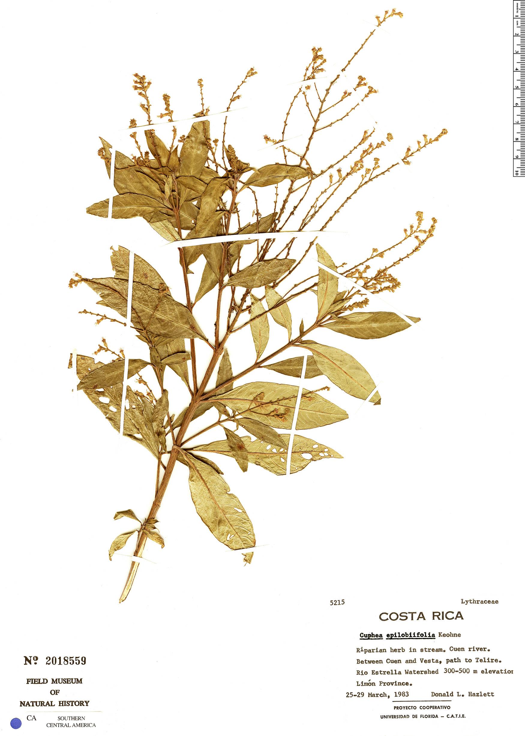 Specimen: Cuphea epilobiifolia
