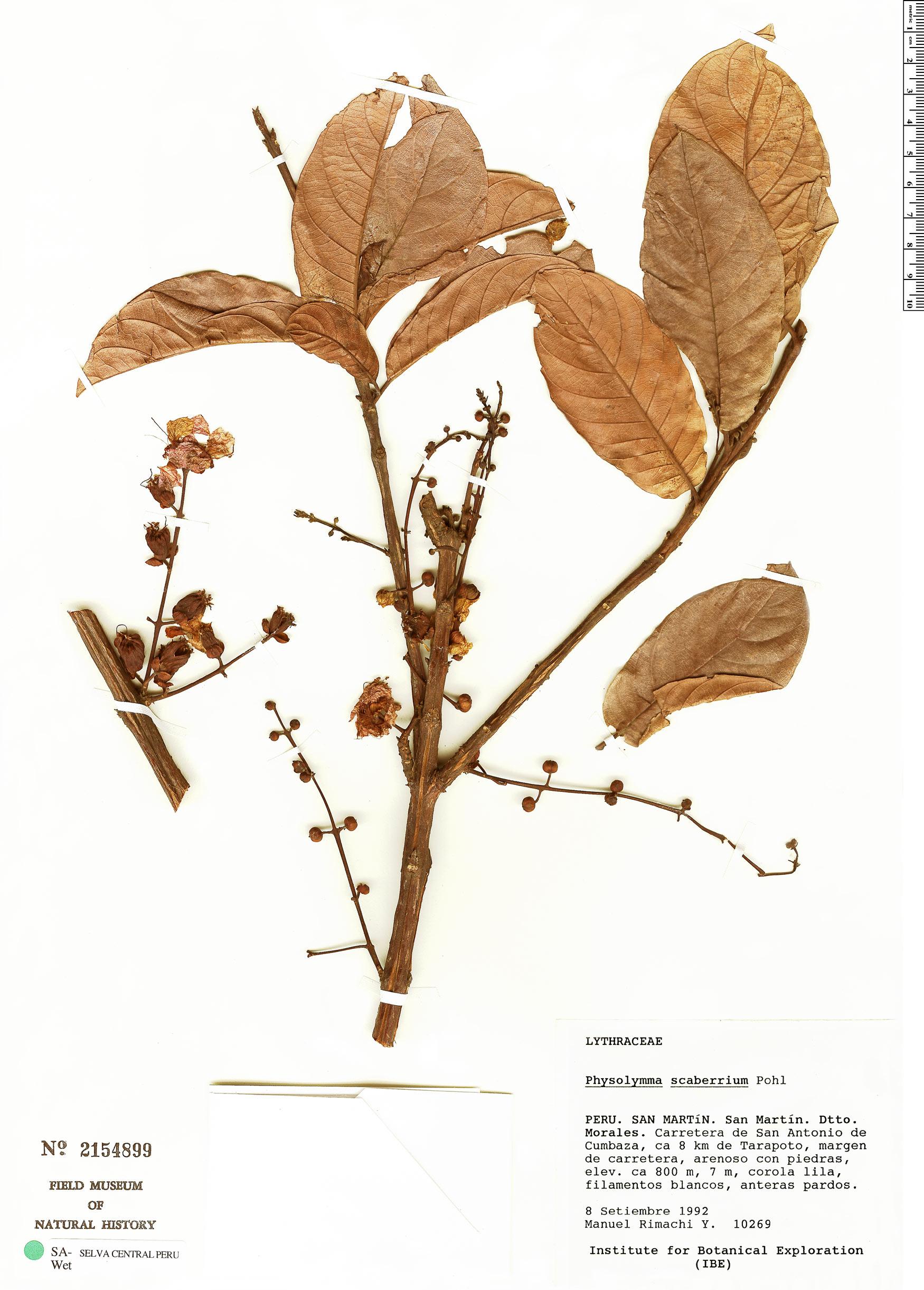 Specimen: Physocalymma scaberrimum