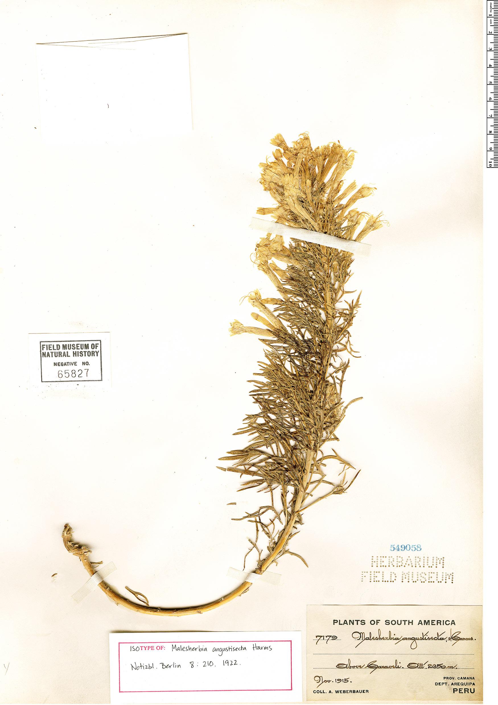 Specimen: Malesherbia angustisecta