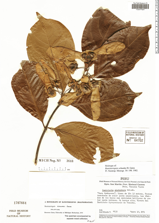 Espécime: Diplopterys schunkei
