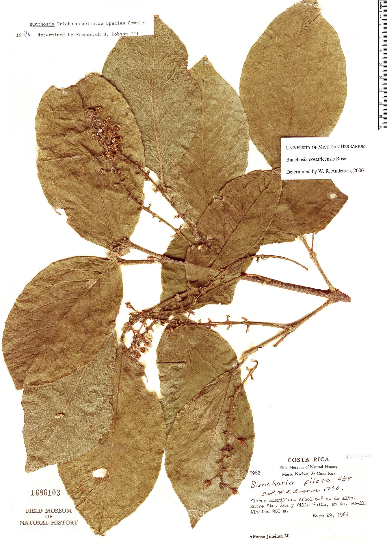 Specimen: Bunchosia costaricensis