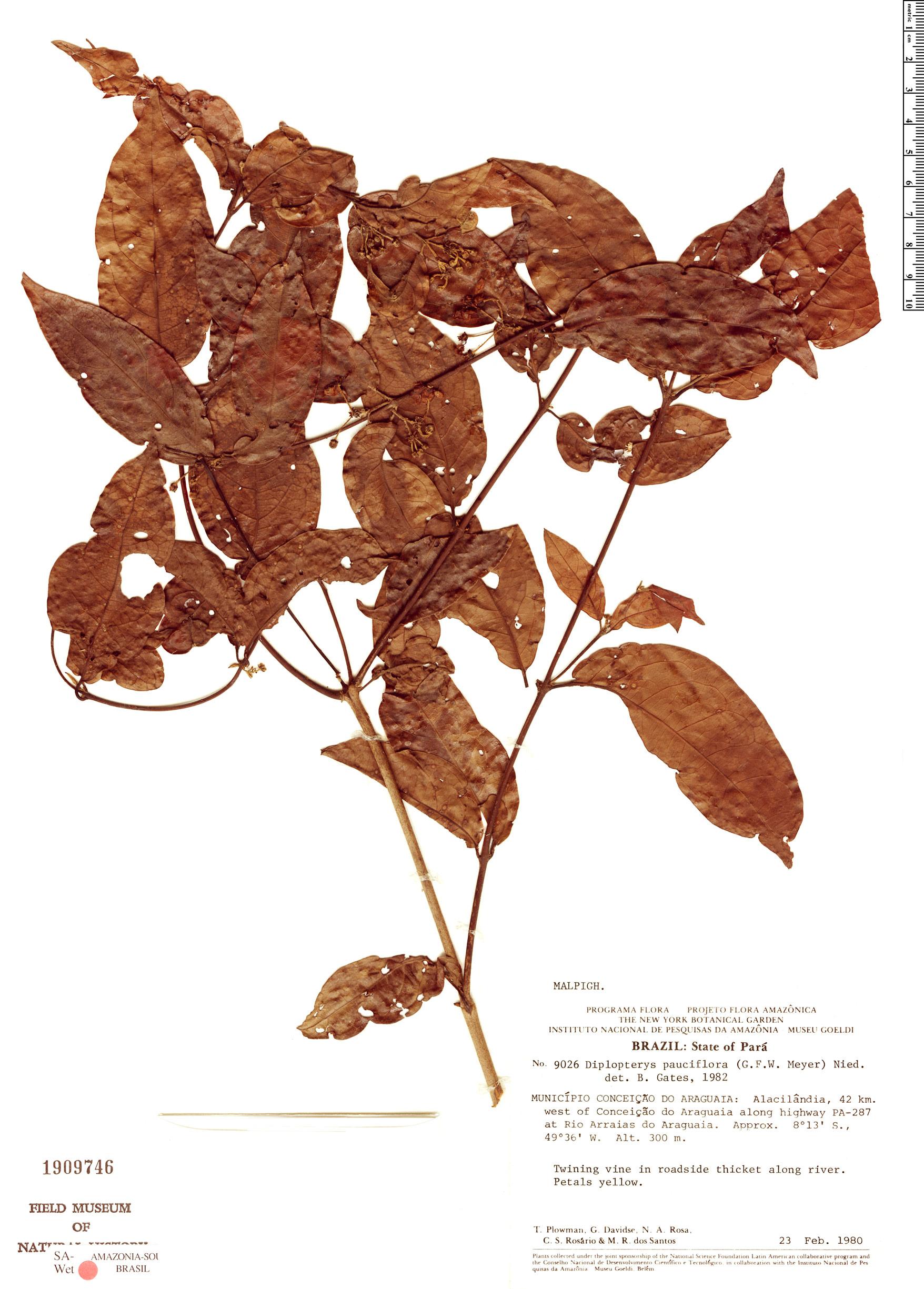 Espécimen: Diplopterys pauciflora