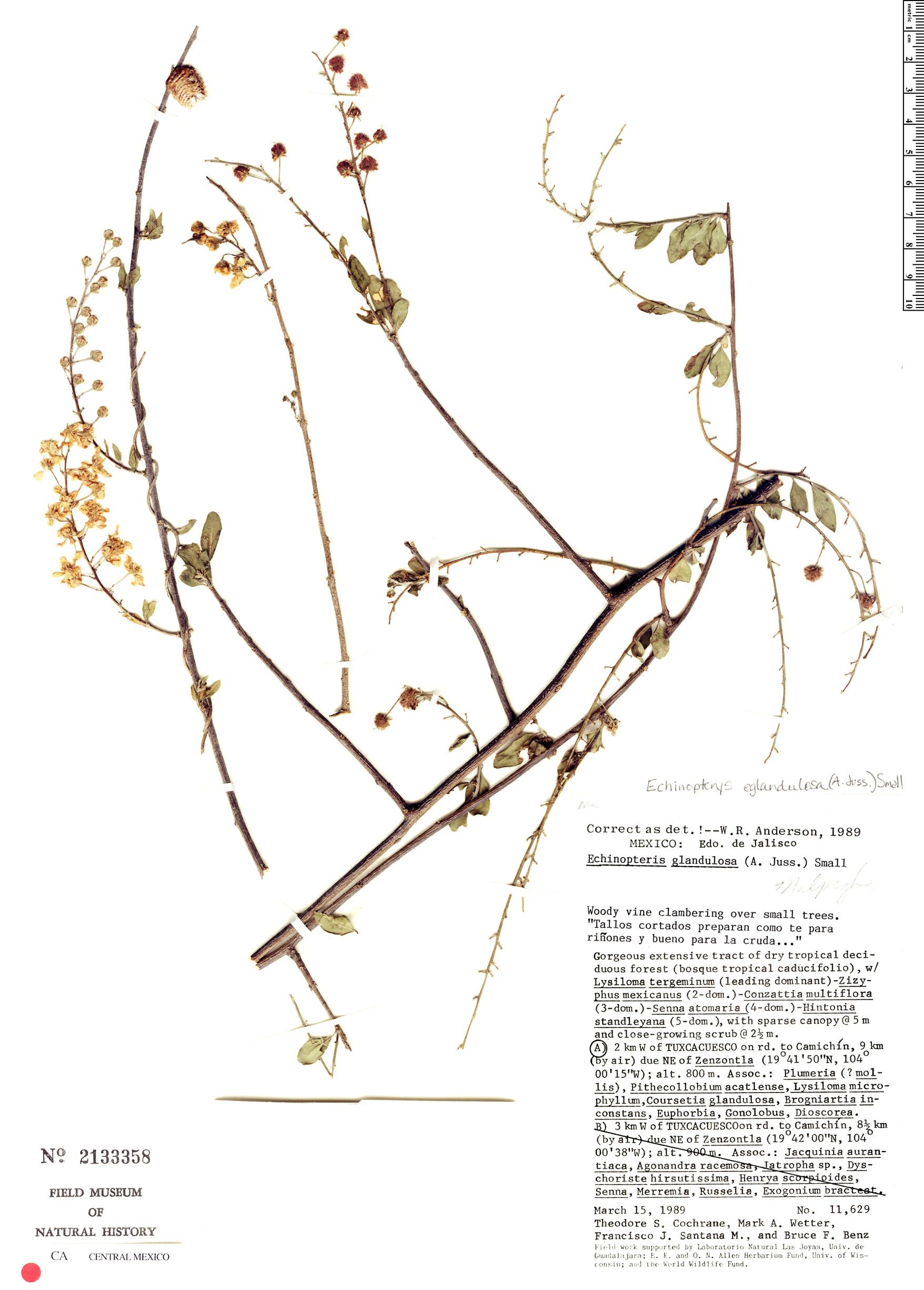 Echinopterys eglandulosa image