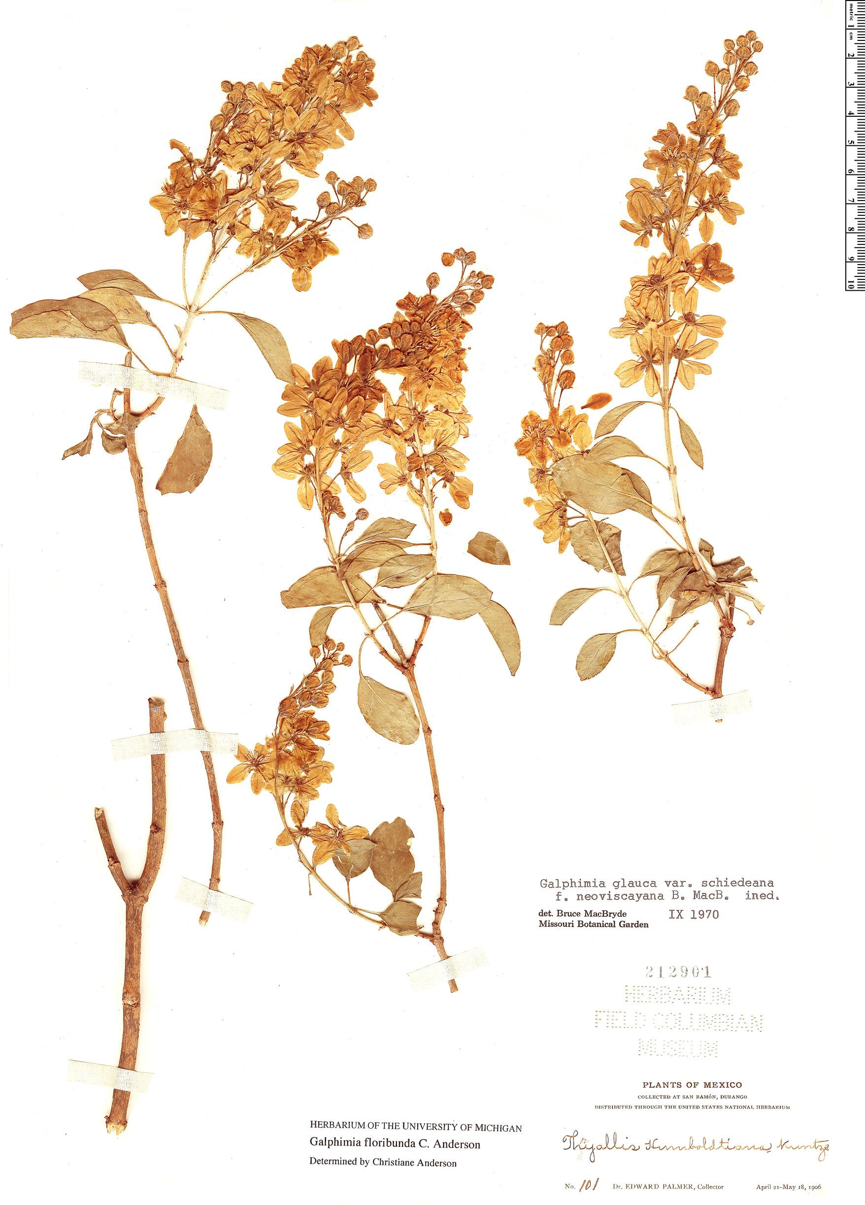 Specimen: Galphimia floribunda