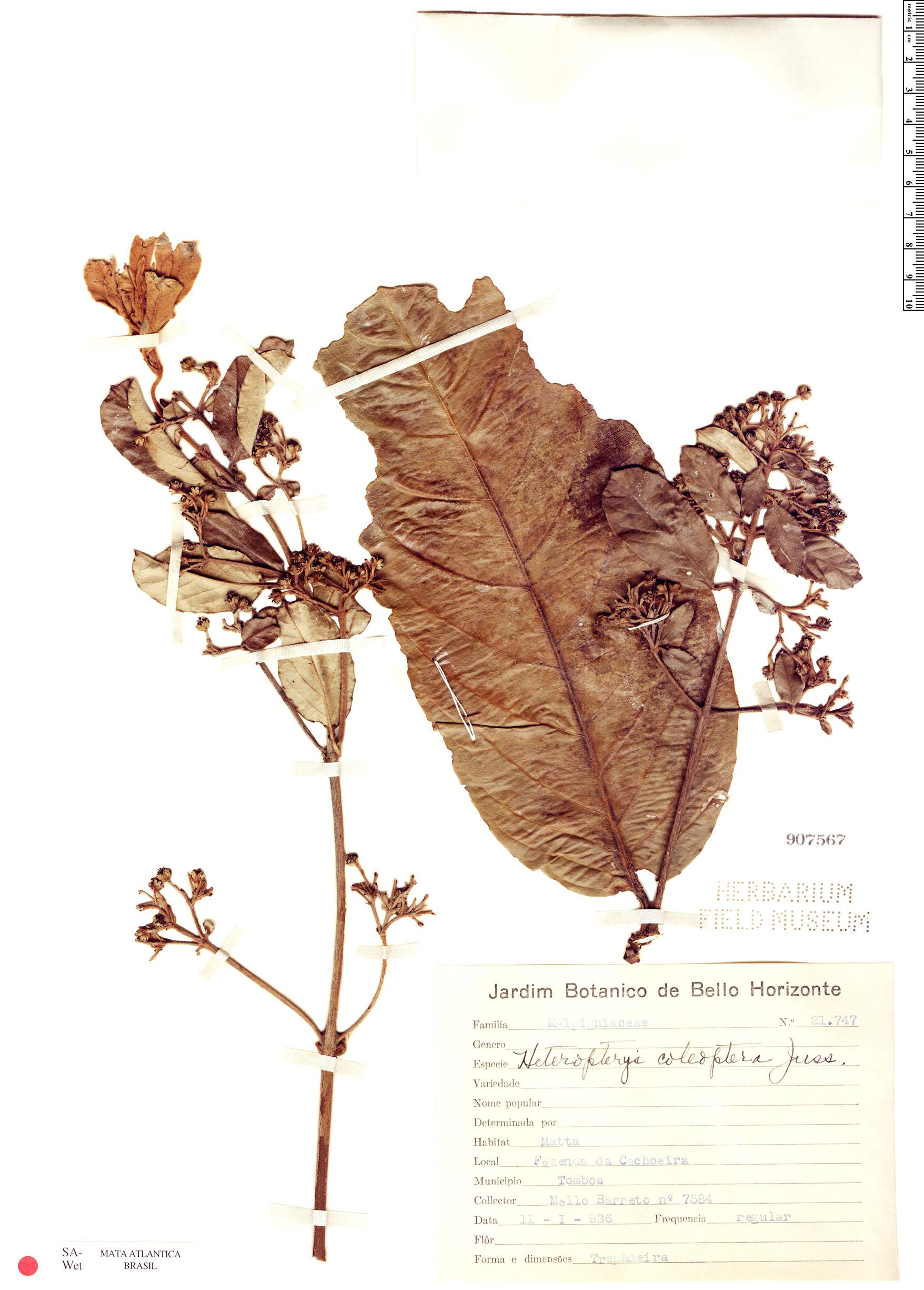 Espécime: Heteropterys coleoptera