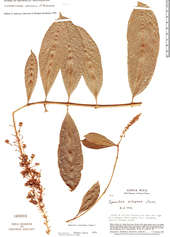 Specimen: Lophanthera hammelii