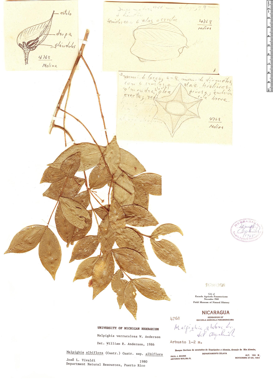 Specimen: Malpighia verruculosa