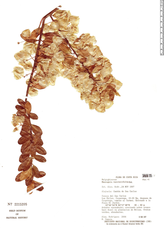 Specimen: Mascagnia vacciniifolia