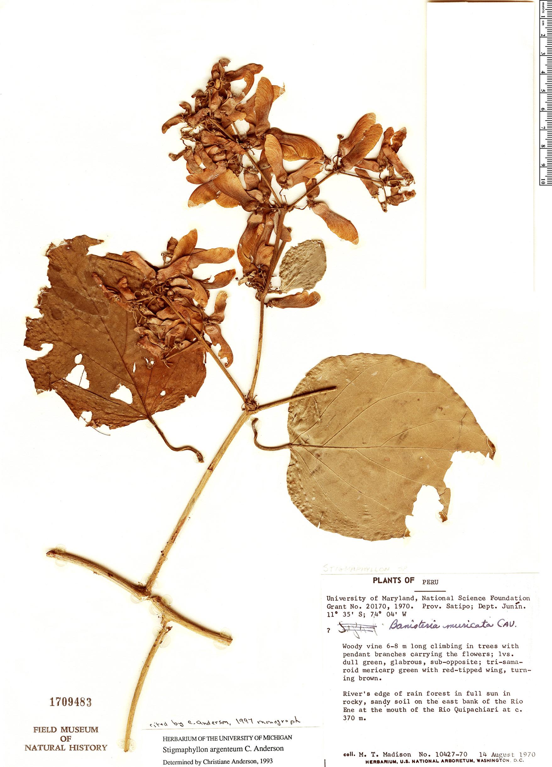 Espécimen: Stigmaphyllon argenteum