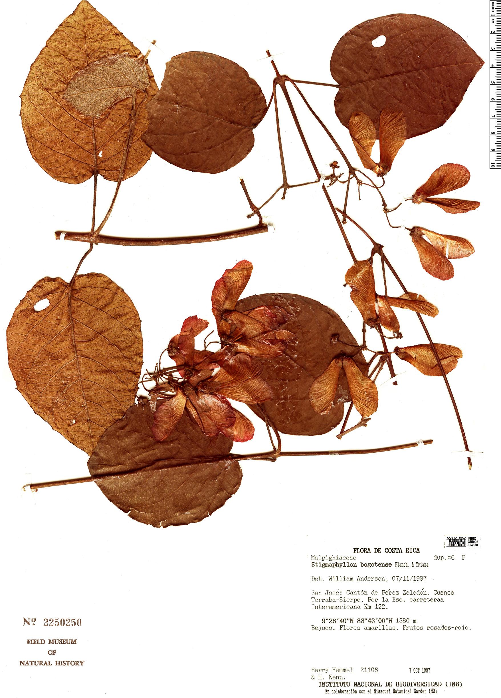 Specimen: Stigmaphyllon bogotense