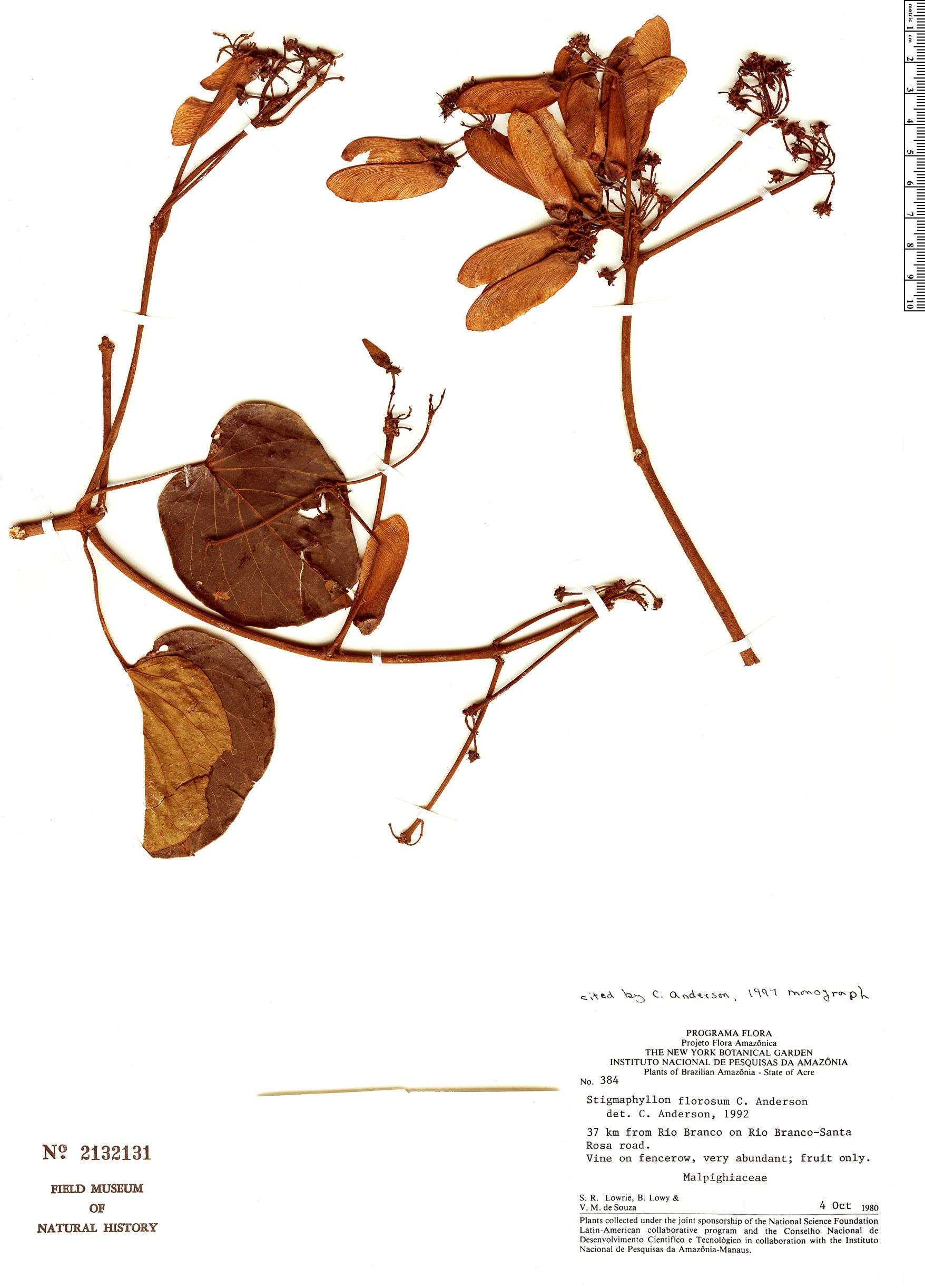 Specimen: Stigmaphyllon florosum