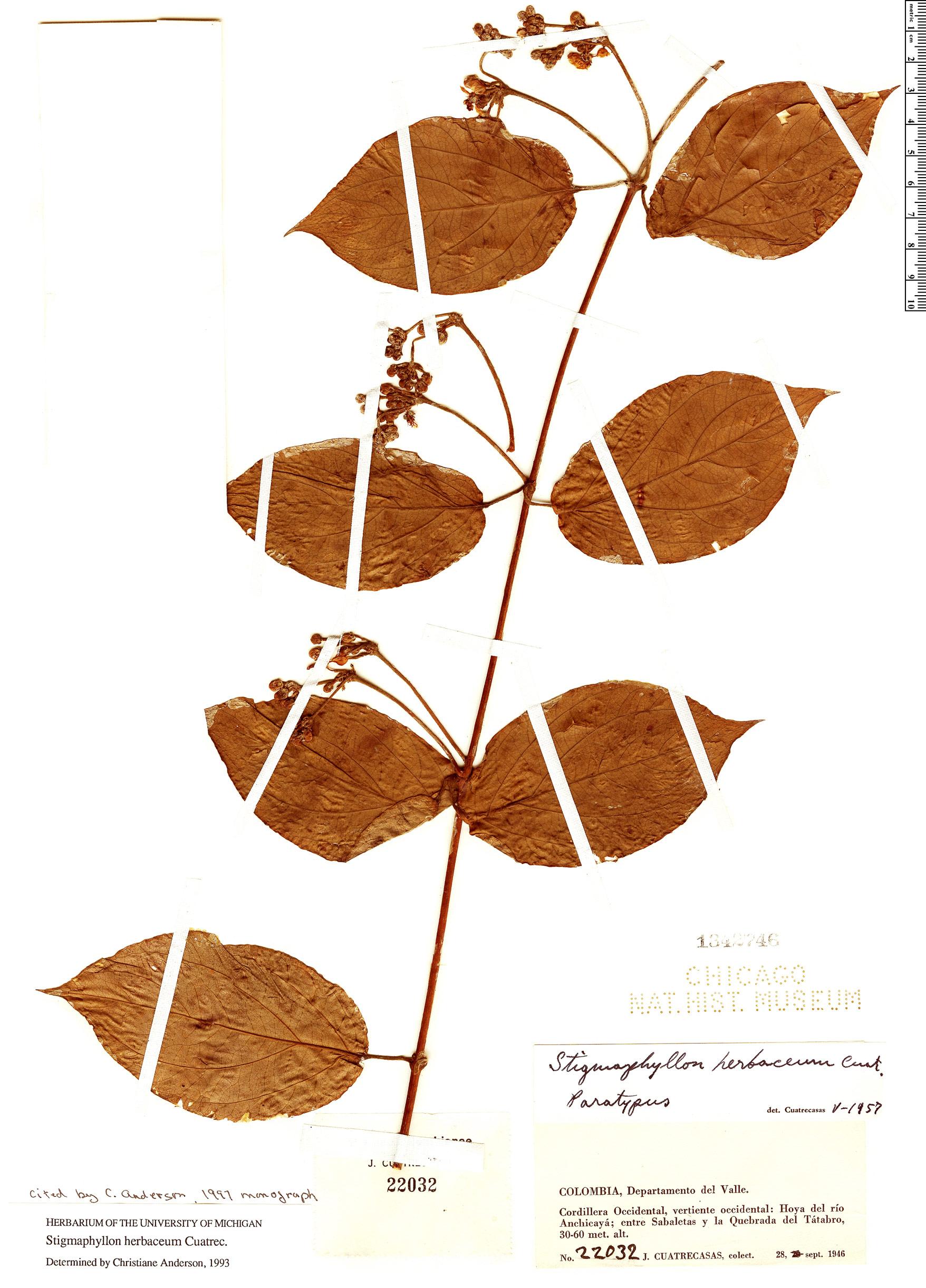 Specimen: Stigmaphyllon herbaceum