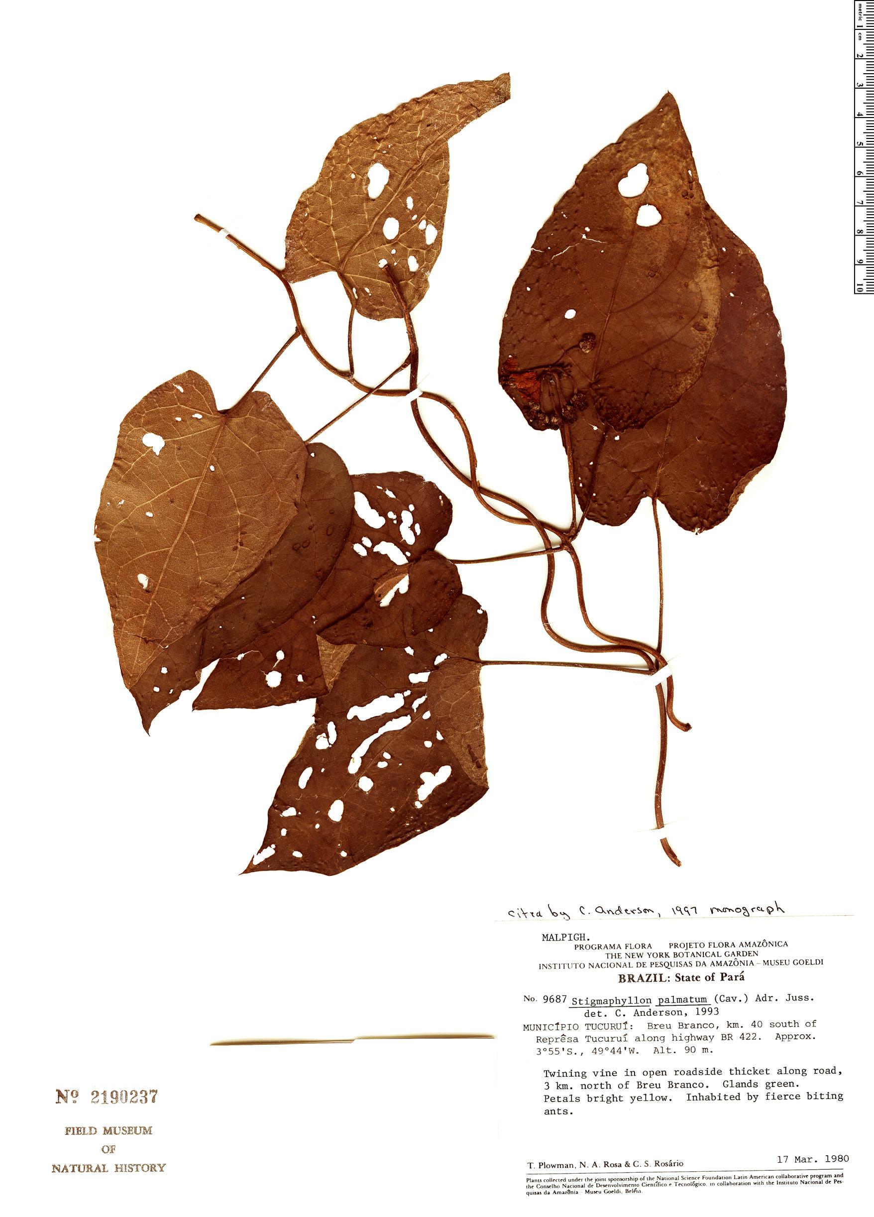 Specimen: Stigmaphyllon palmatum