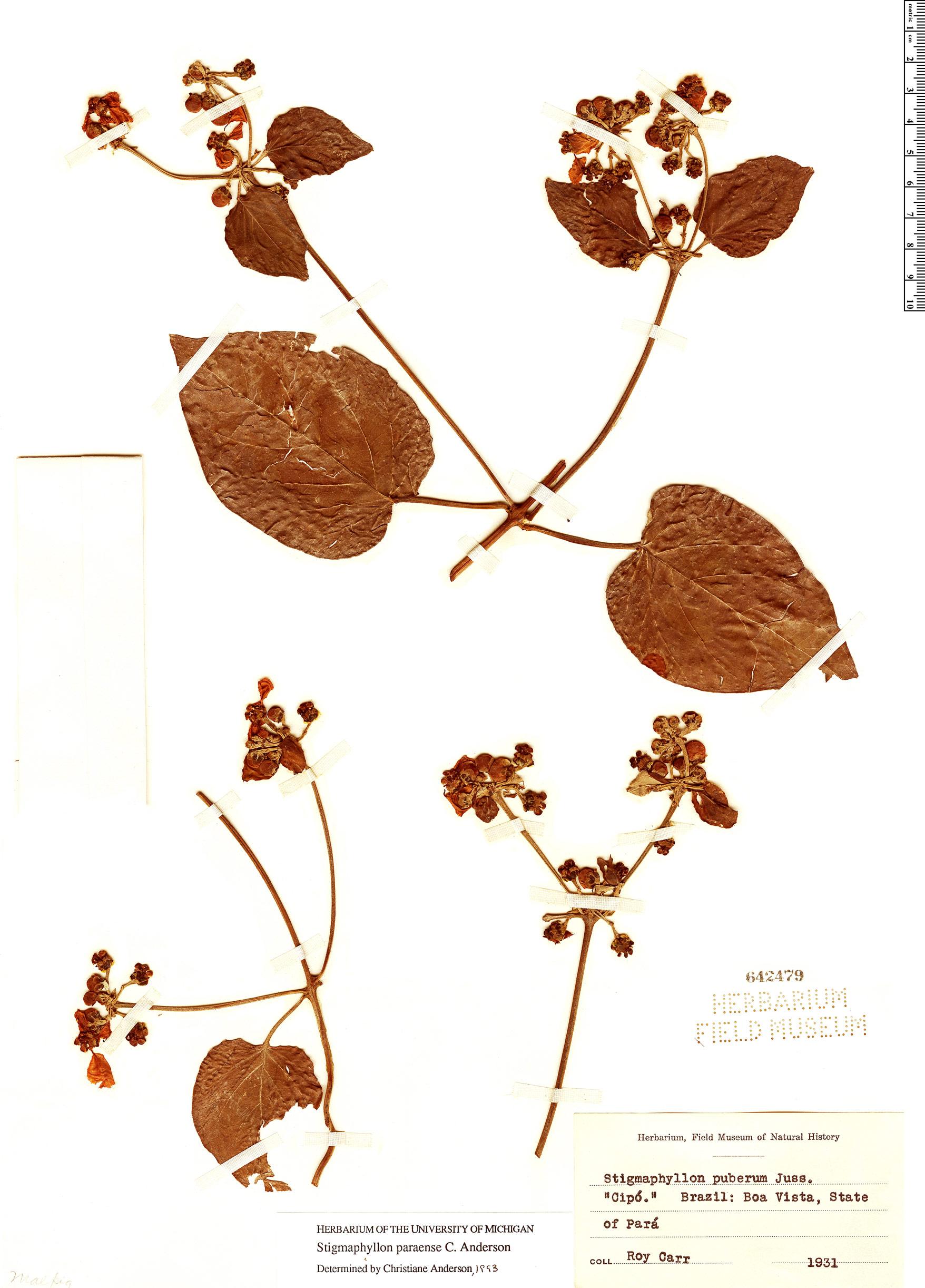 Specimen: Stigmaphyllon paraense