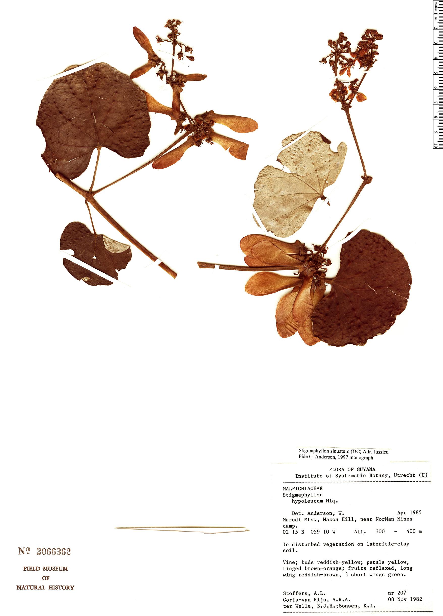 Specimen: Stigmaphyllon sinuatum