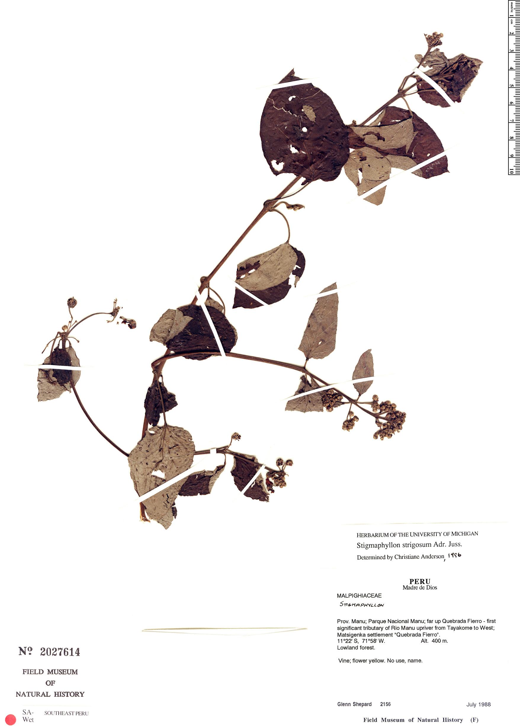 Specimen: Stigmaphyllon strigosum