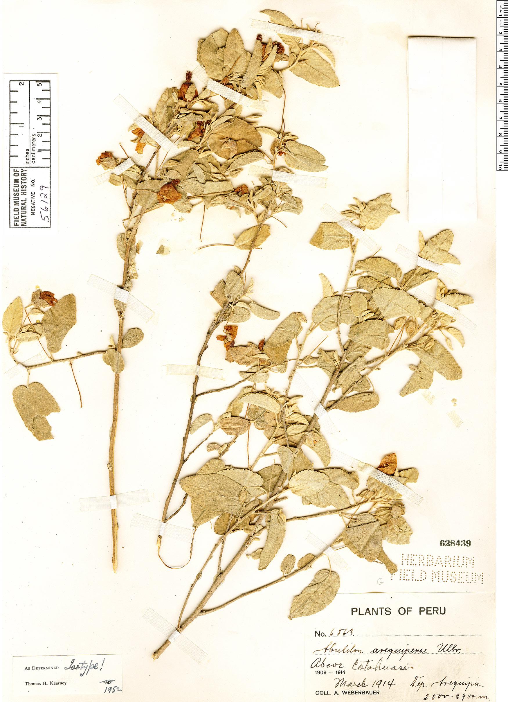 Specimen: Abutilon arequipense