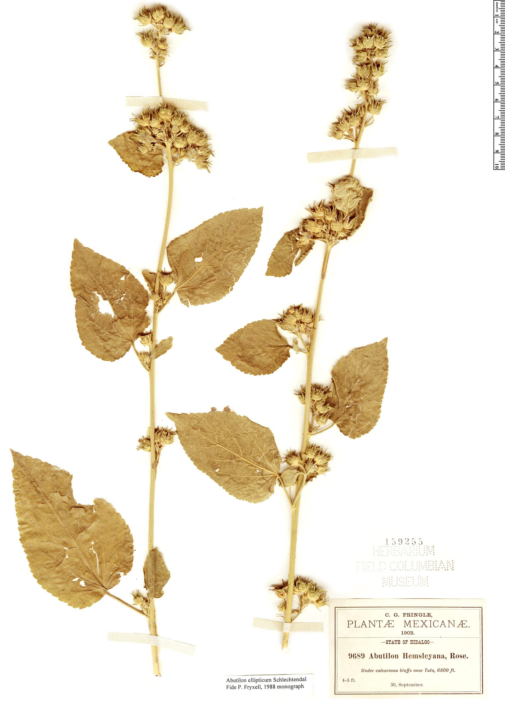 Specimen: Abutilon ellipticum