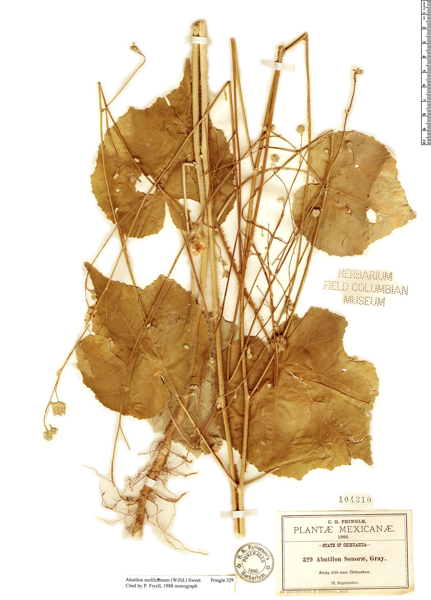 Specimen: Abutilon mollicomum