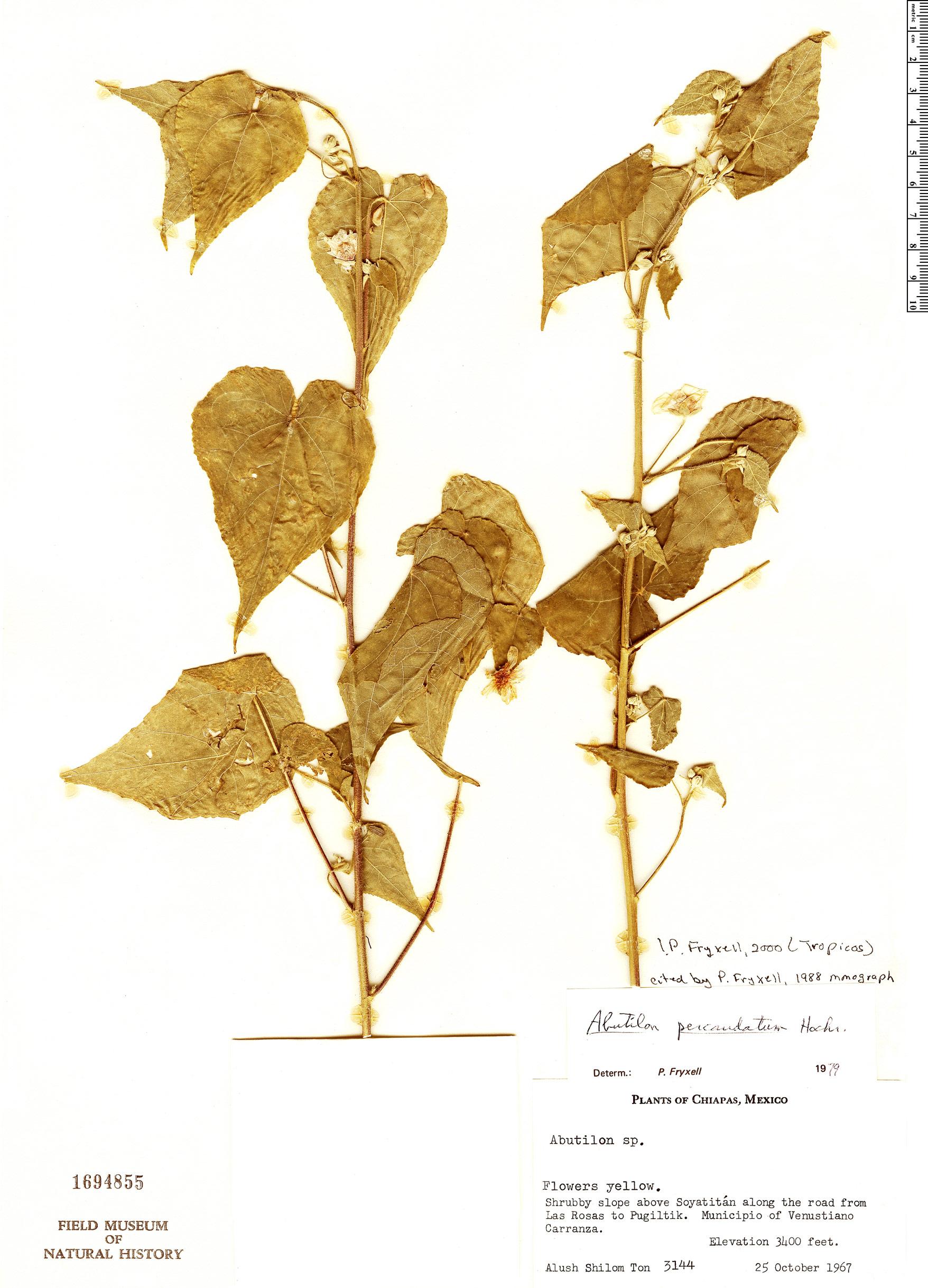 Specimen: Abutilon percaudatum