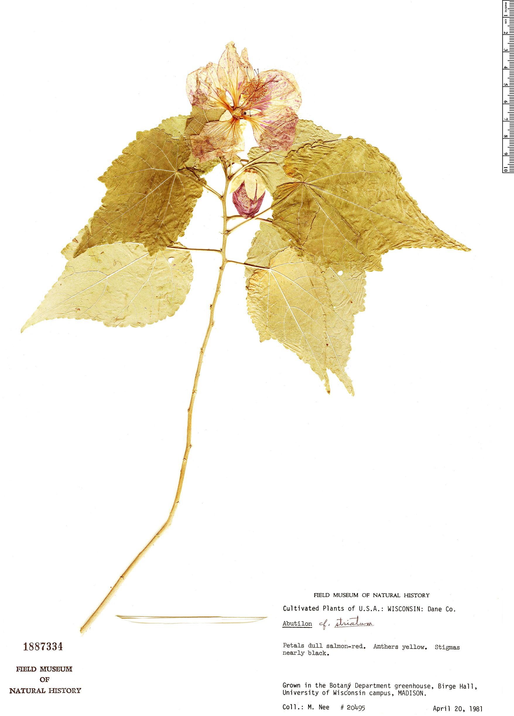 Espécime: Abutilon striatum