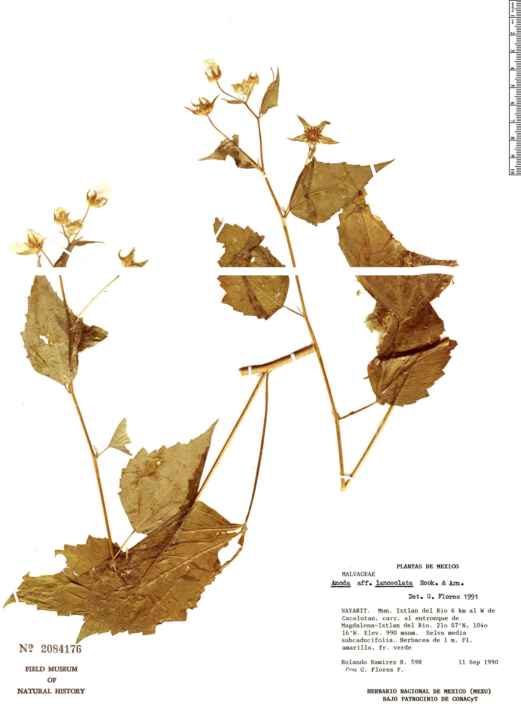 Espécimen: Anoda lanceolata