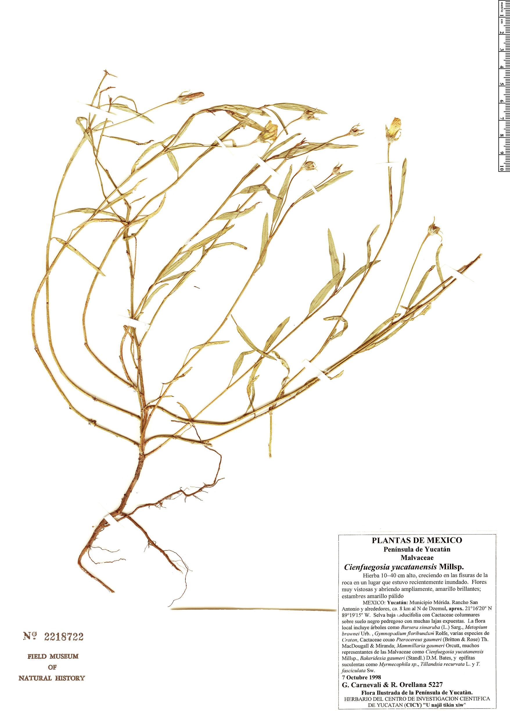 Specimen: Cienfuegosia yucatanensis