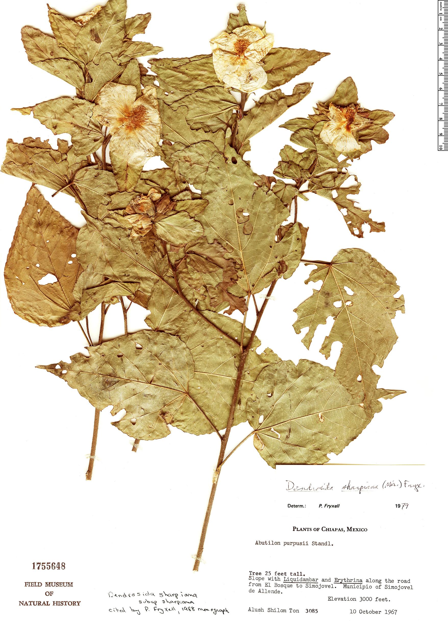 Specimen: Dendrosida sharpiana