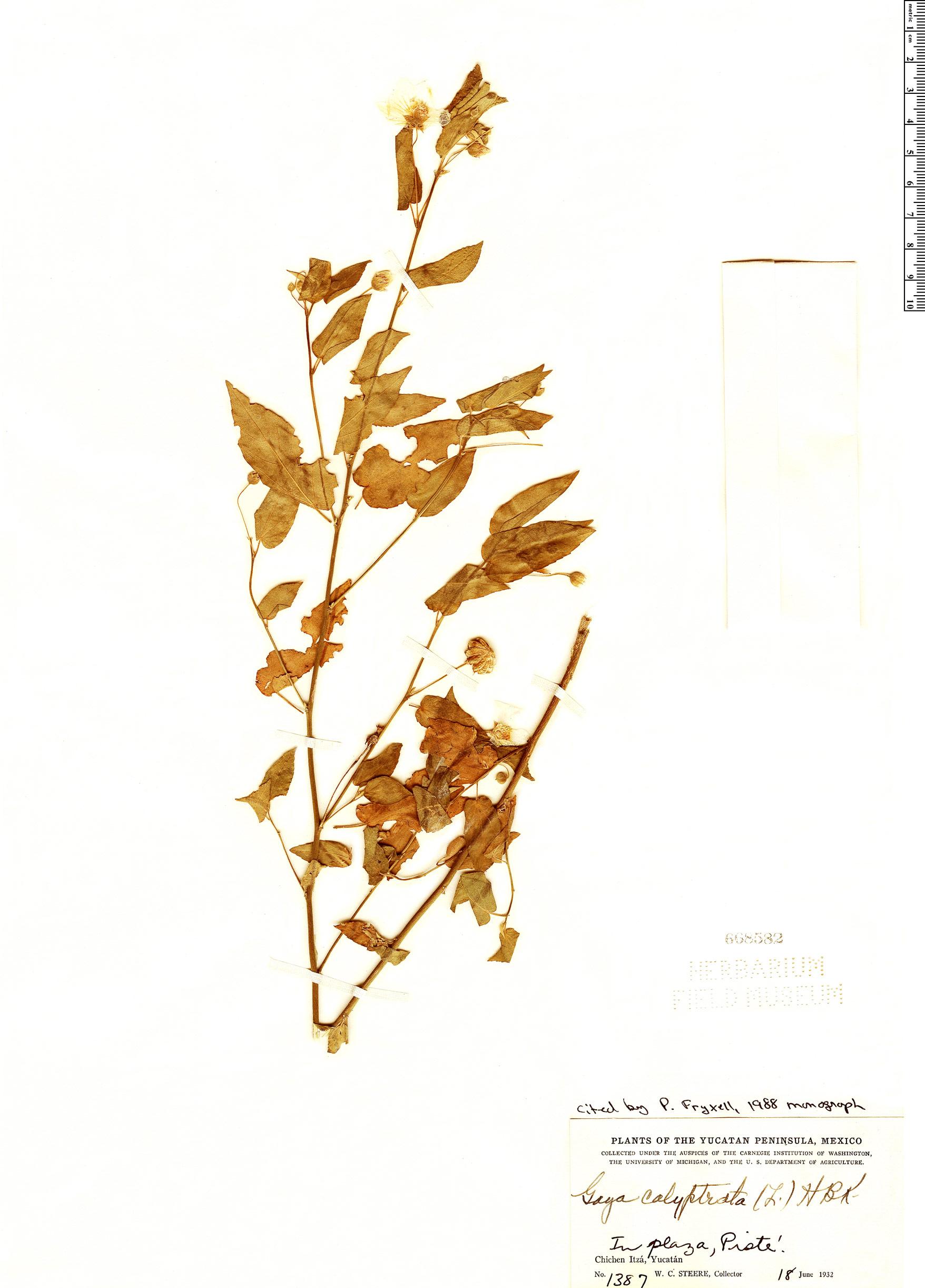 Espécimen: Gaya calyptrata