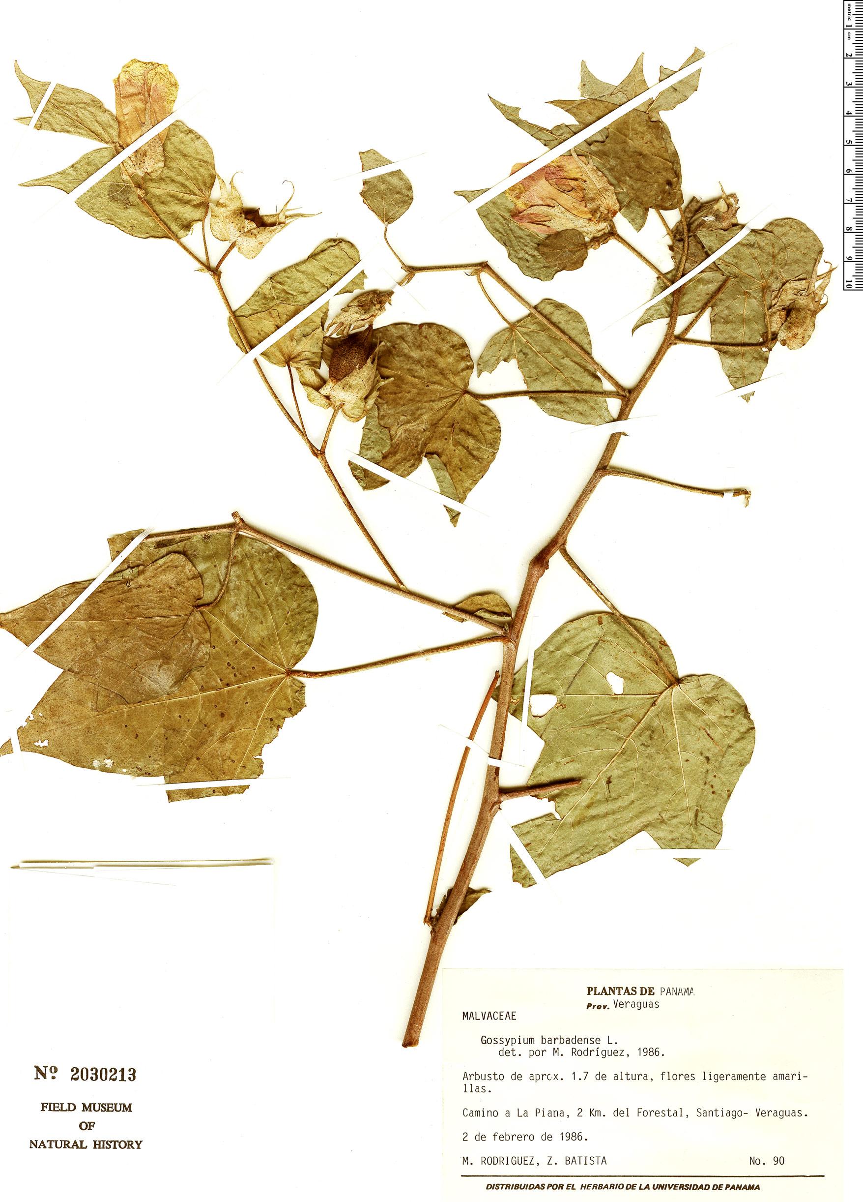 Specimen: Gossypium barbadense