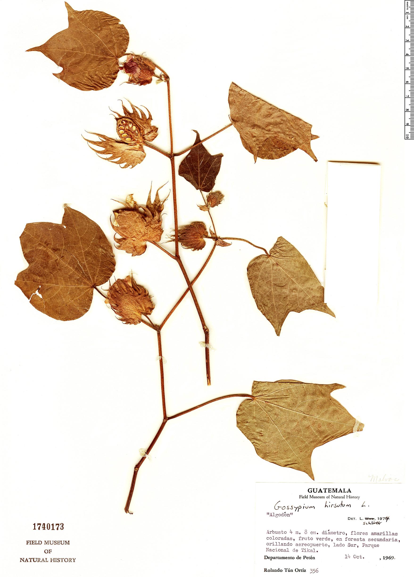 Specimen: Gossypium hirsutum