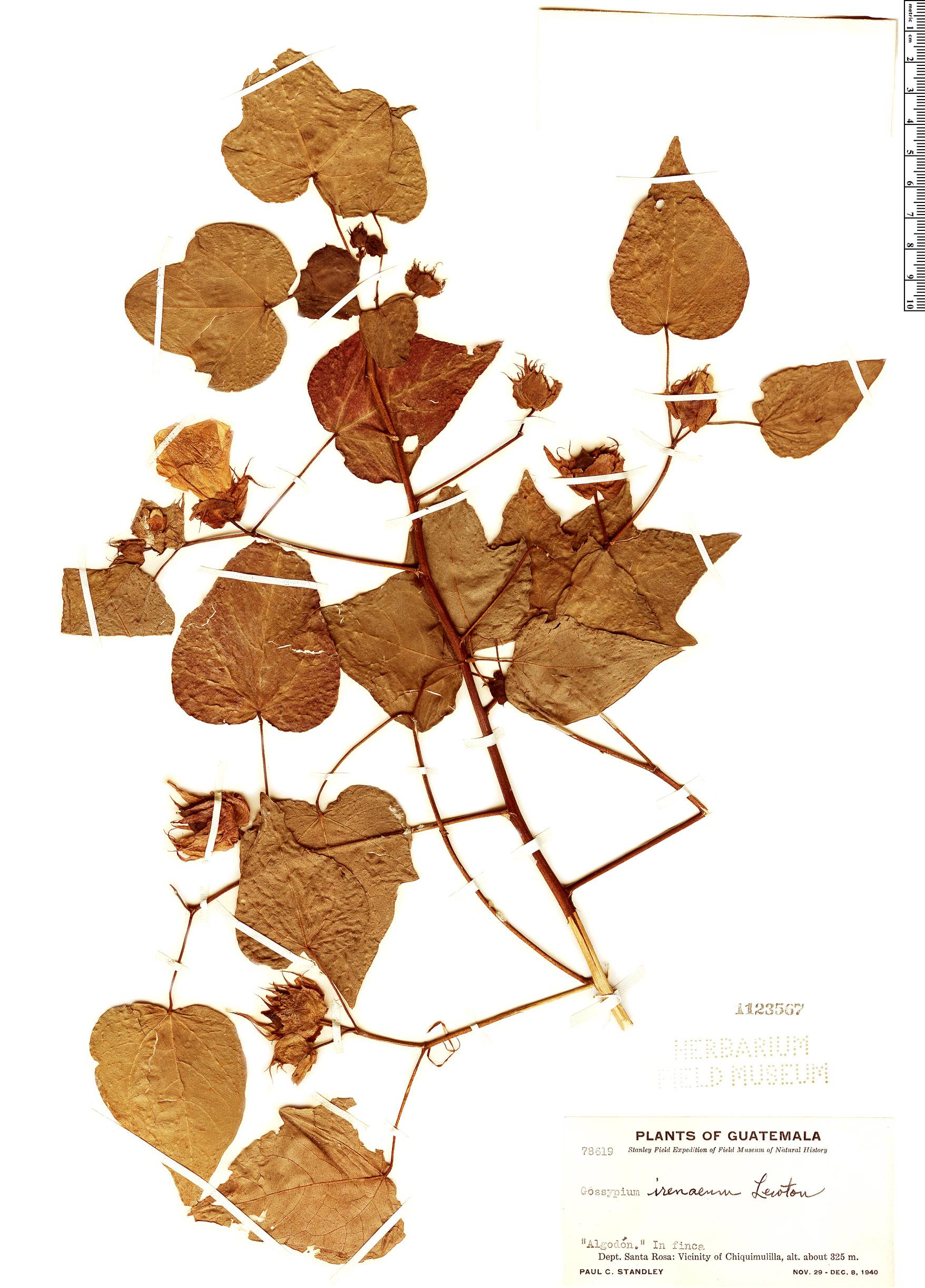 Specimen: Gossypium irenaeum