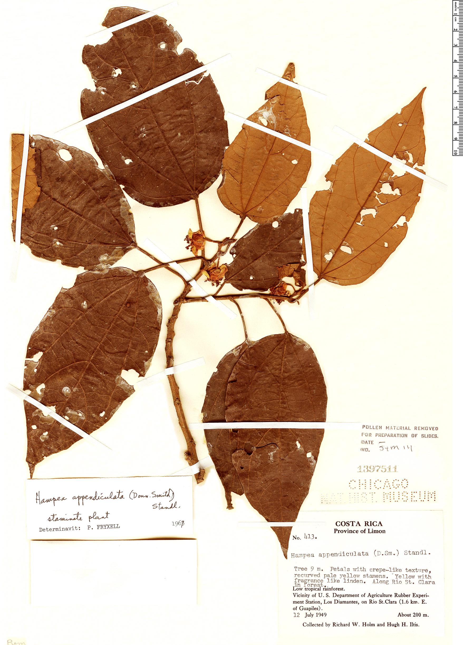 Specimen: Hampea appendiculata