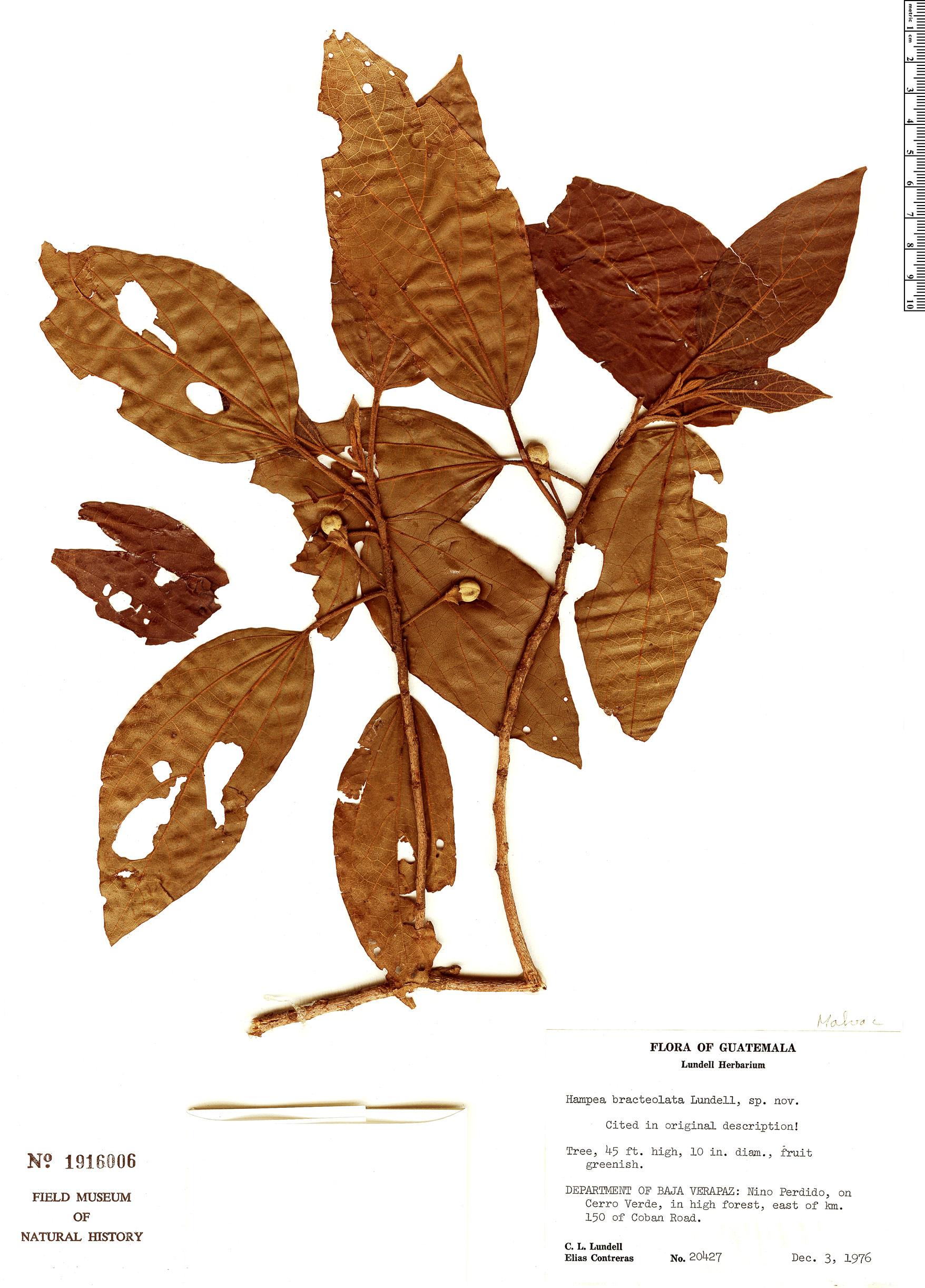 Specimen: Hampea bracteolata